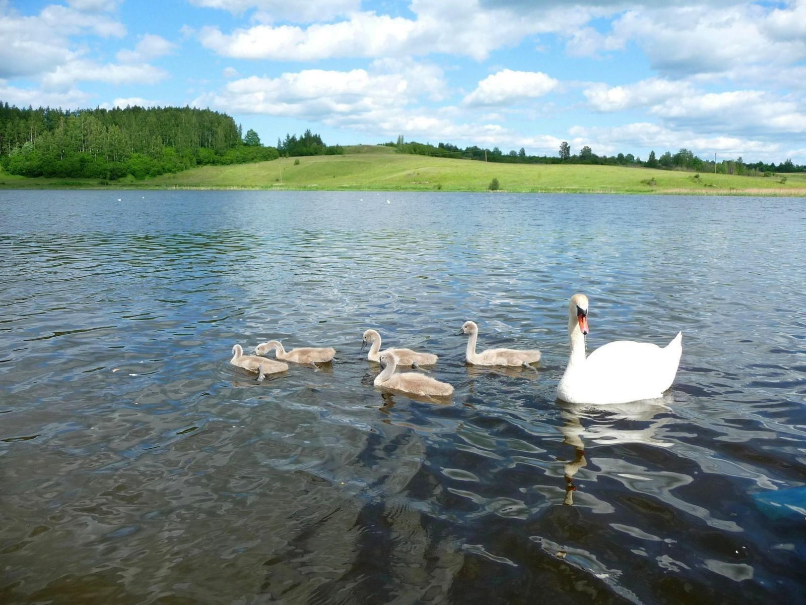 природа река деревья облака лебедь животные скачать