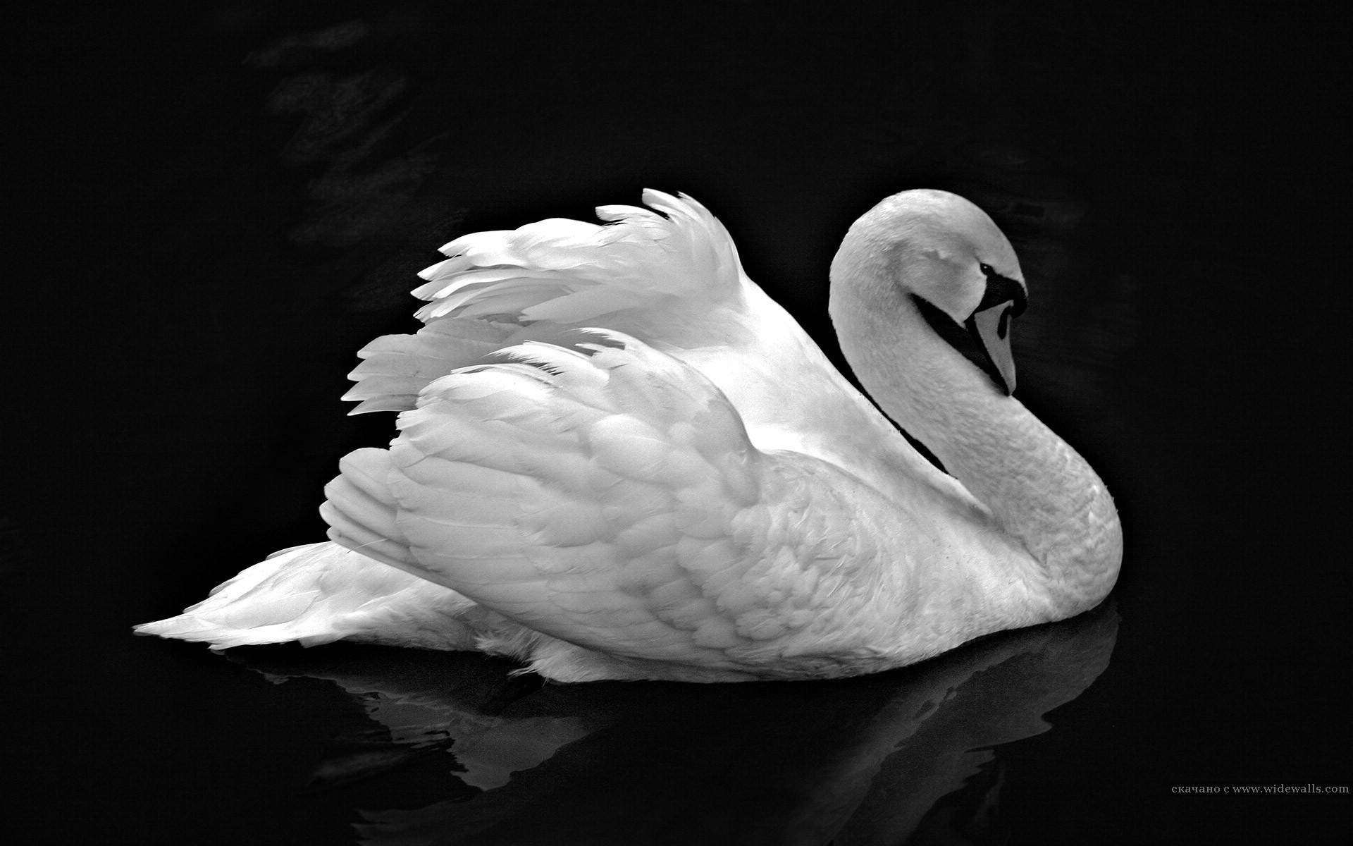Черный стеклянный лебедь  № 3137143  скачать