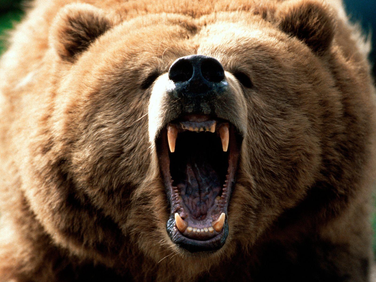 пригласила бурый злой медведь картинки модели