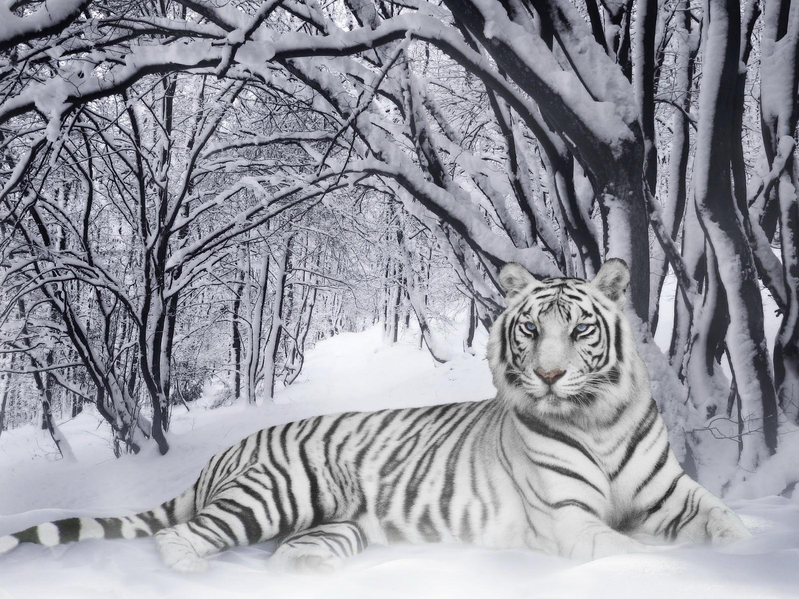 белый тигр на снегу  № 988903 без смс