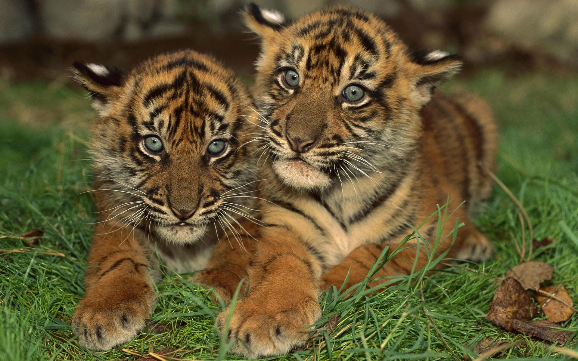 консервы обои на телефон тигрята фотообои классную свадебную песню