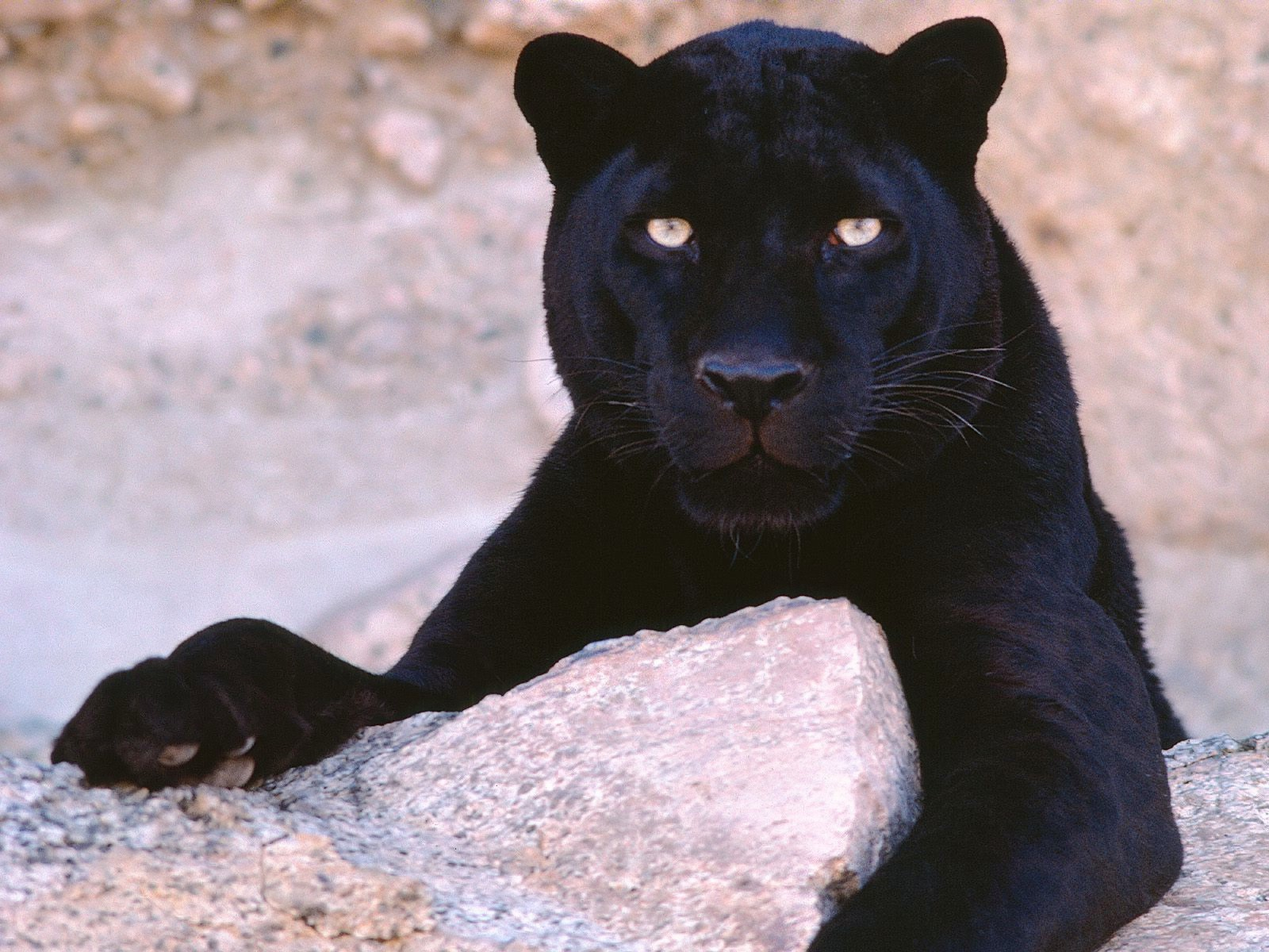 a description of the black panther as a type of leopard