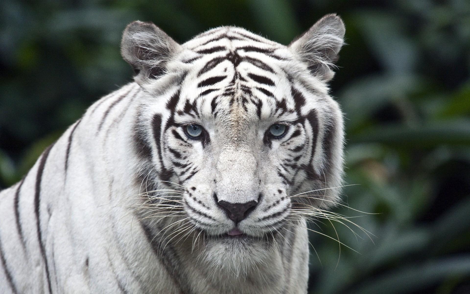 Fotos de portada tigres 11