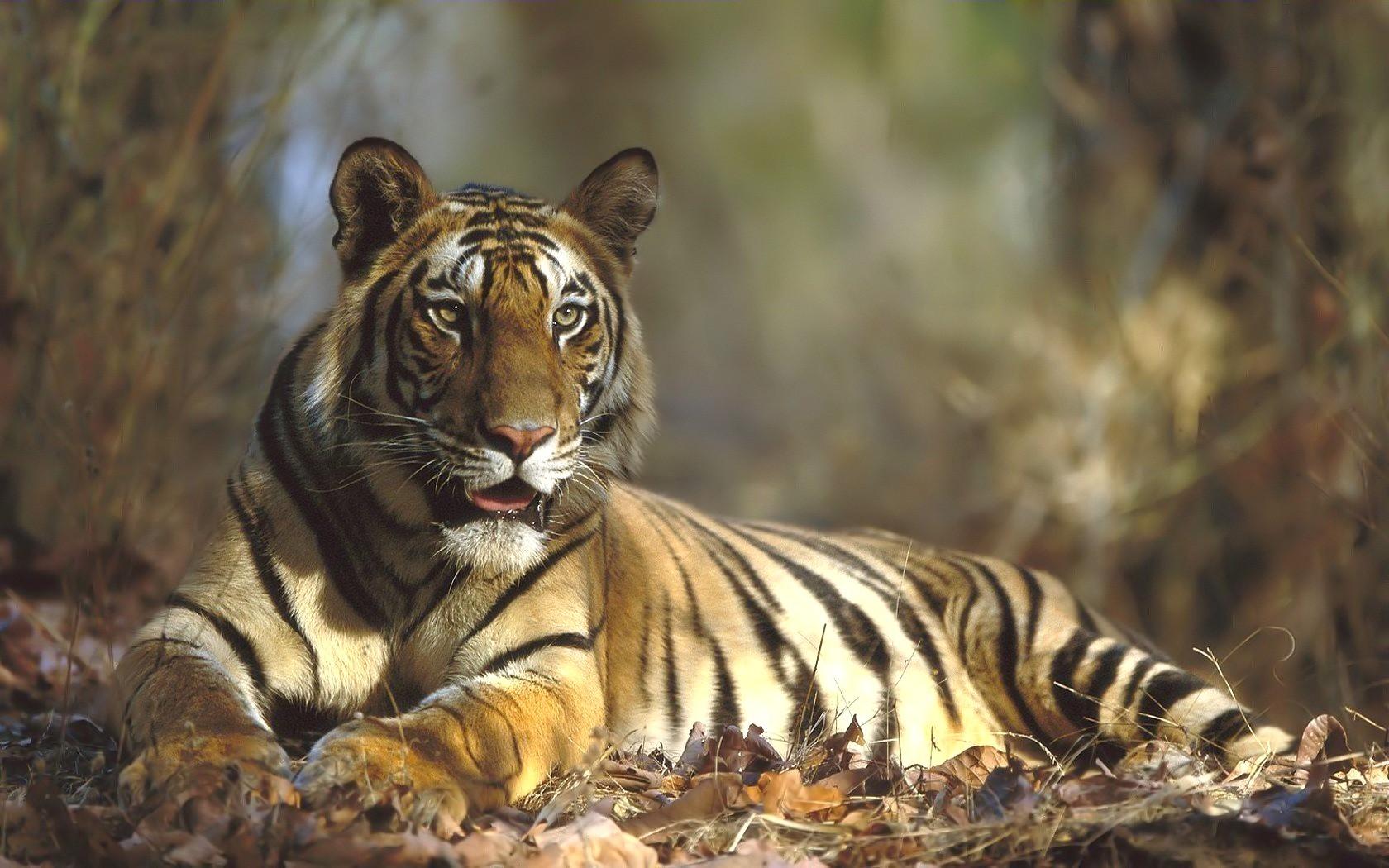 понимают, тигры картинки высокого качества время