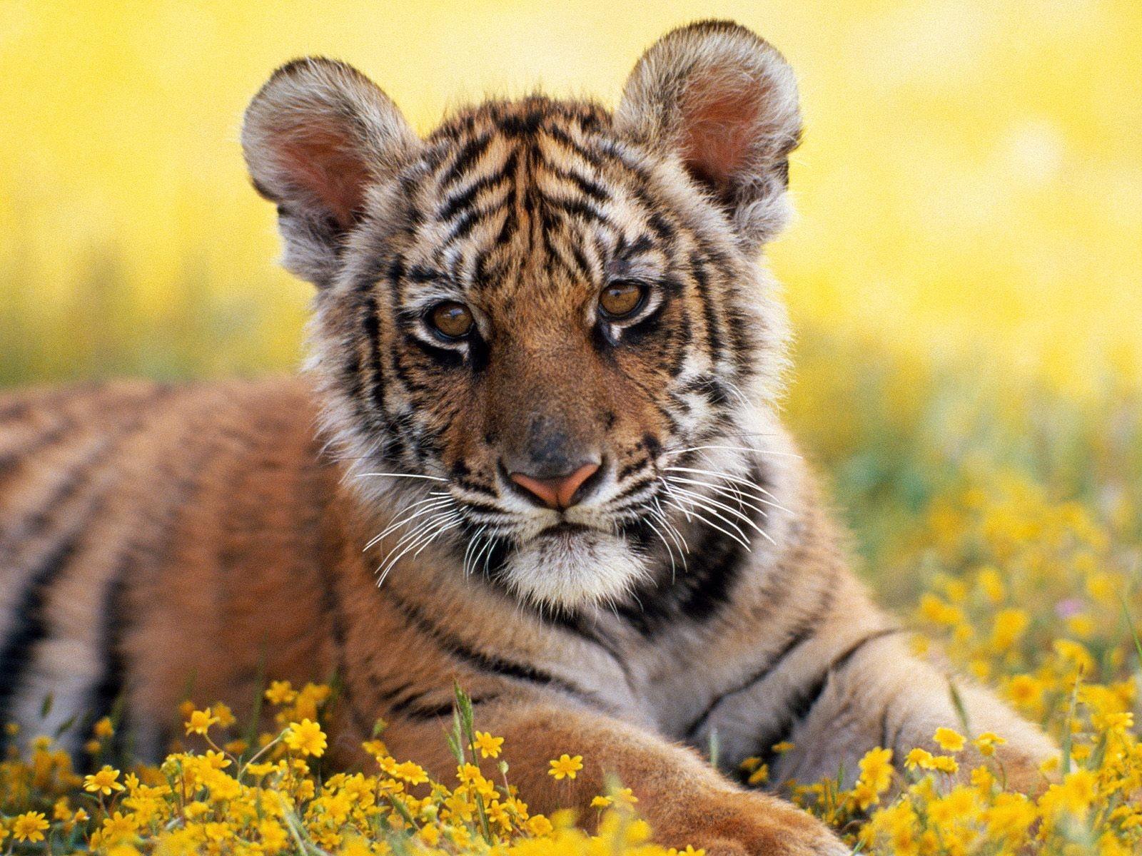 Открытки прикольные, фото открытки с тигром