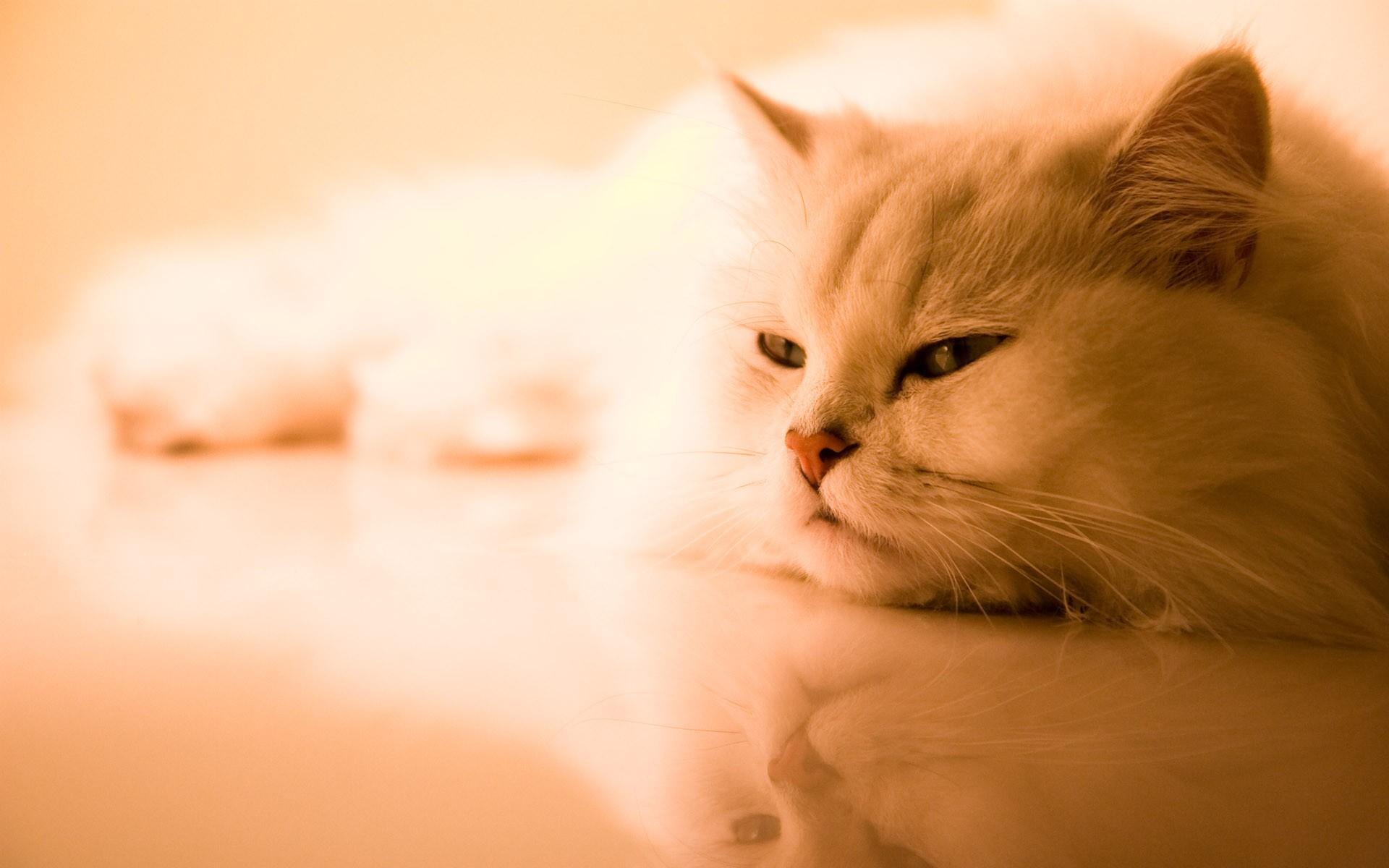 Широкоформатные обои кошки на рабочий стол высокого качества бесплатно