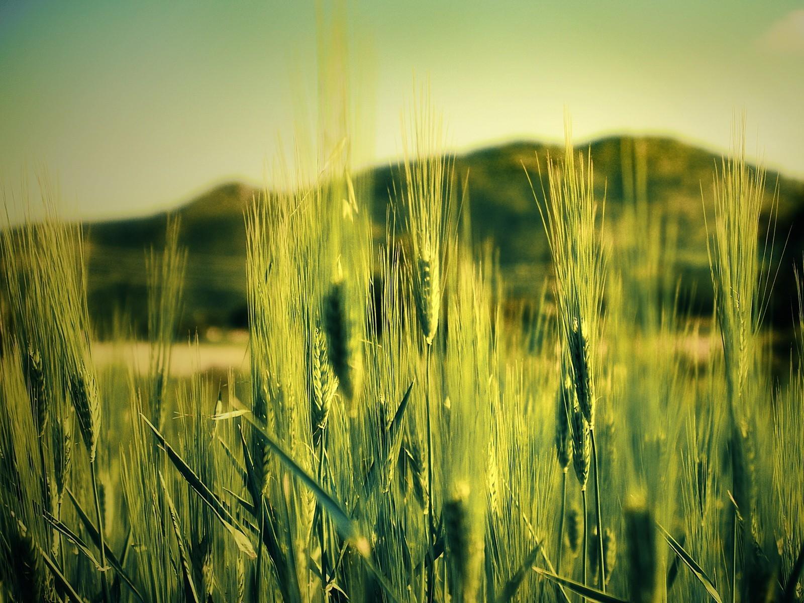 зеленые колосья цветы поляна  № 3213874  скачать
