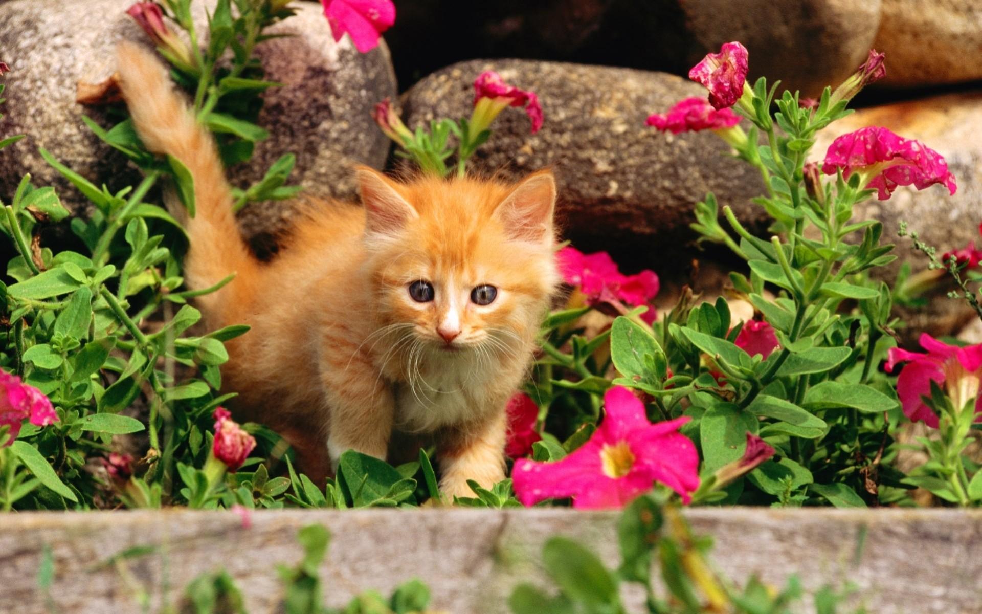природа животные кот котенок рыжий nature animals cat kitten red без смс