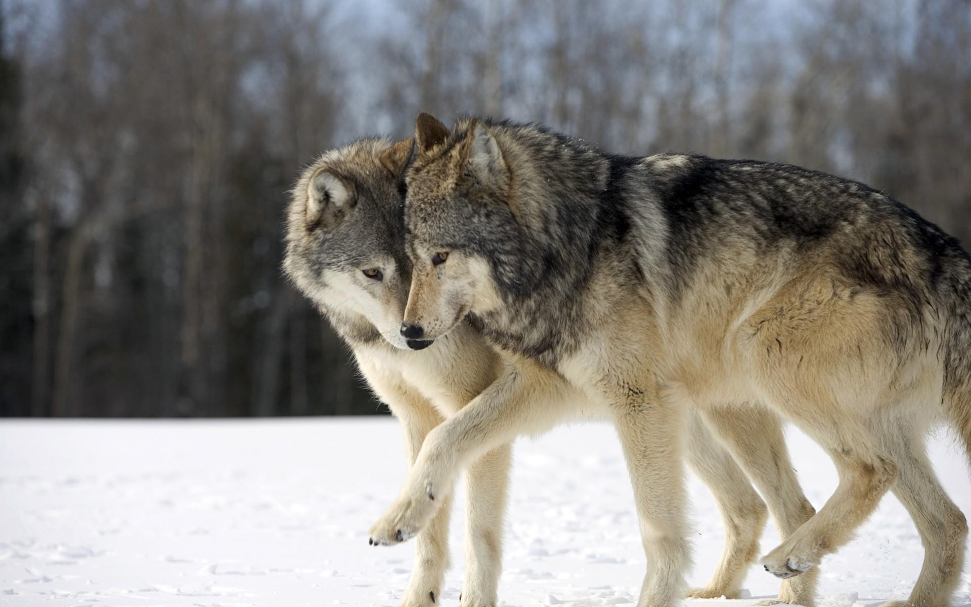 волки романтика