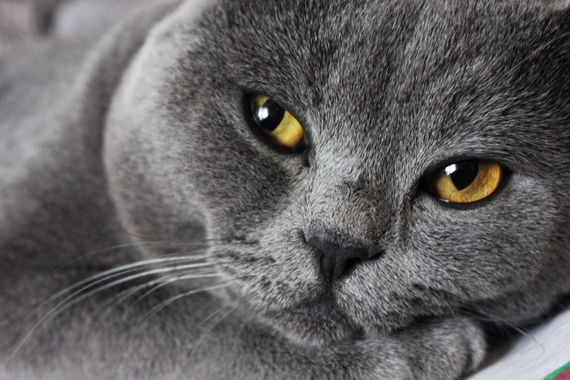 Серый кот  № 411869 без смс