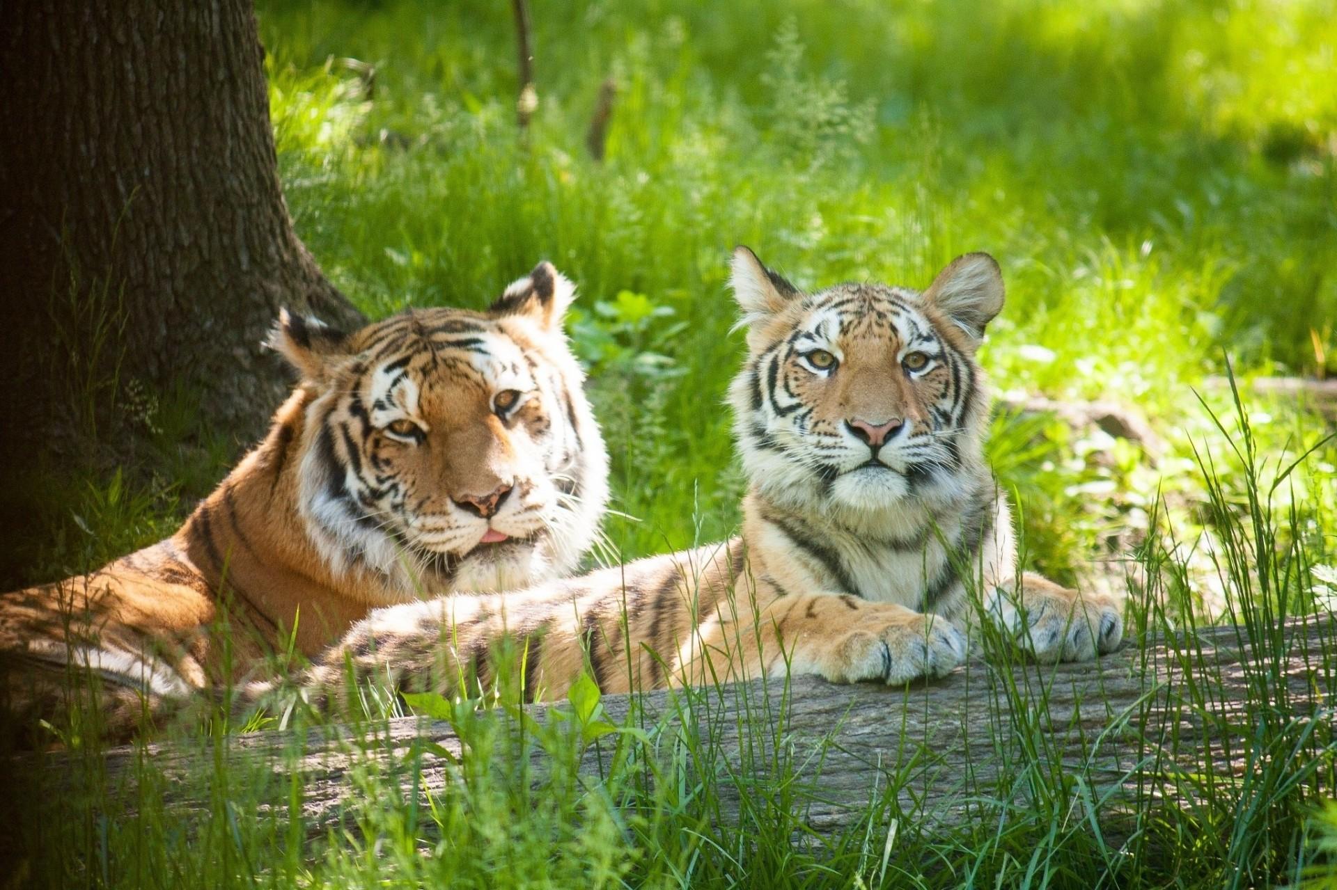 Картинки животные тигры львы