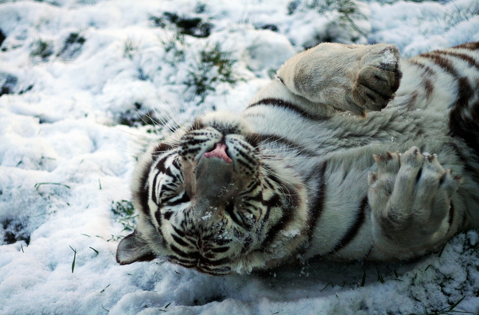 белый тигр на снегу  № 988835 бесплатно