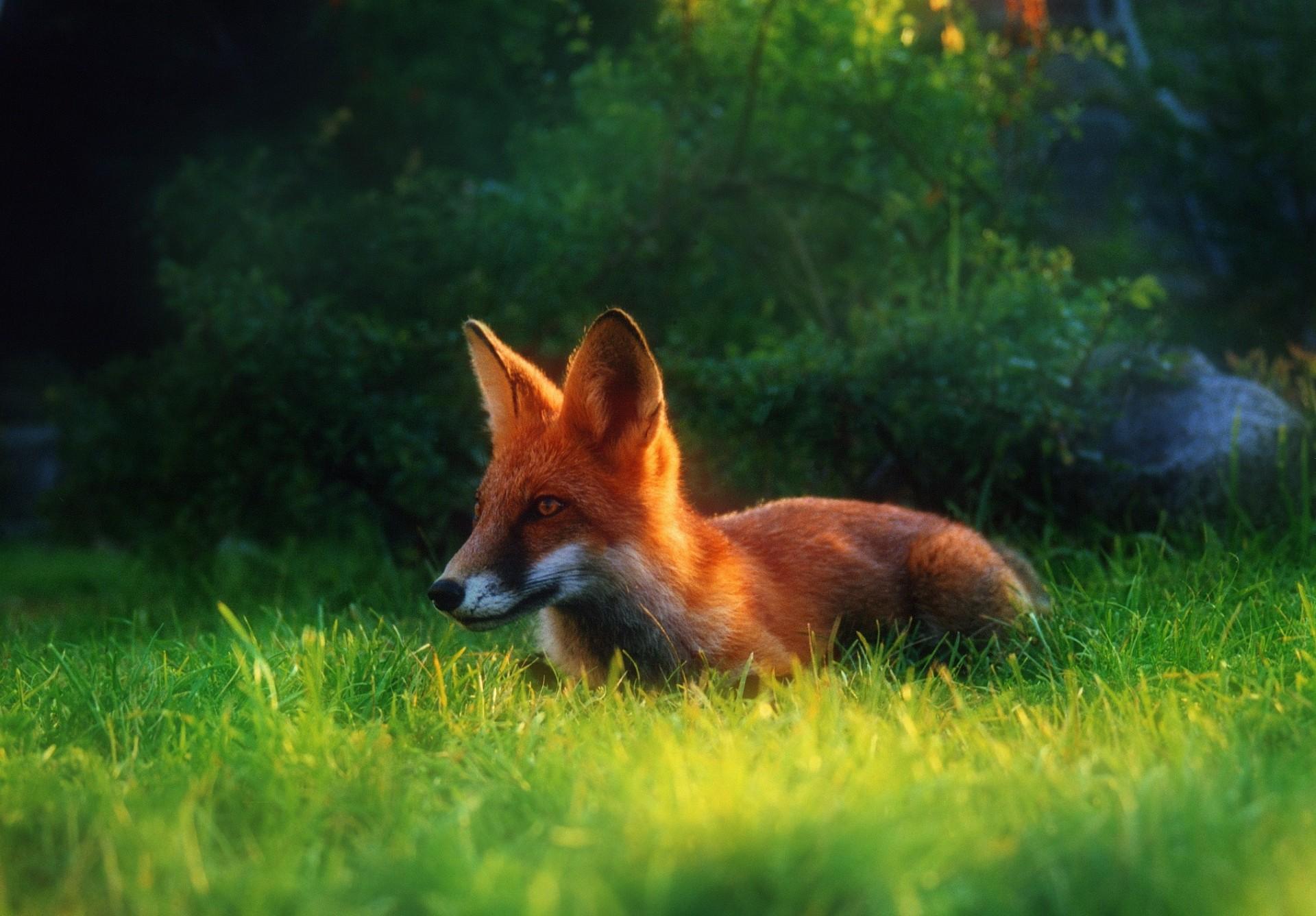послужной список яркие картинки лисичек однажды непобедимую