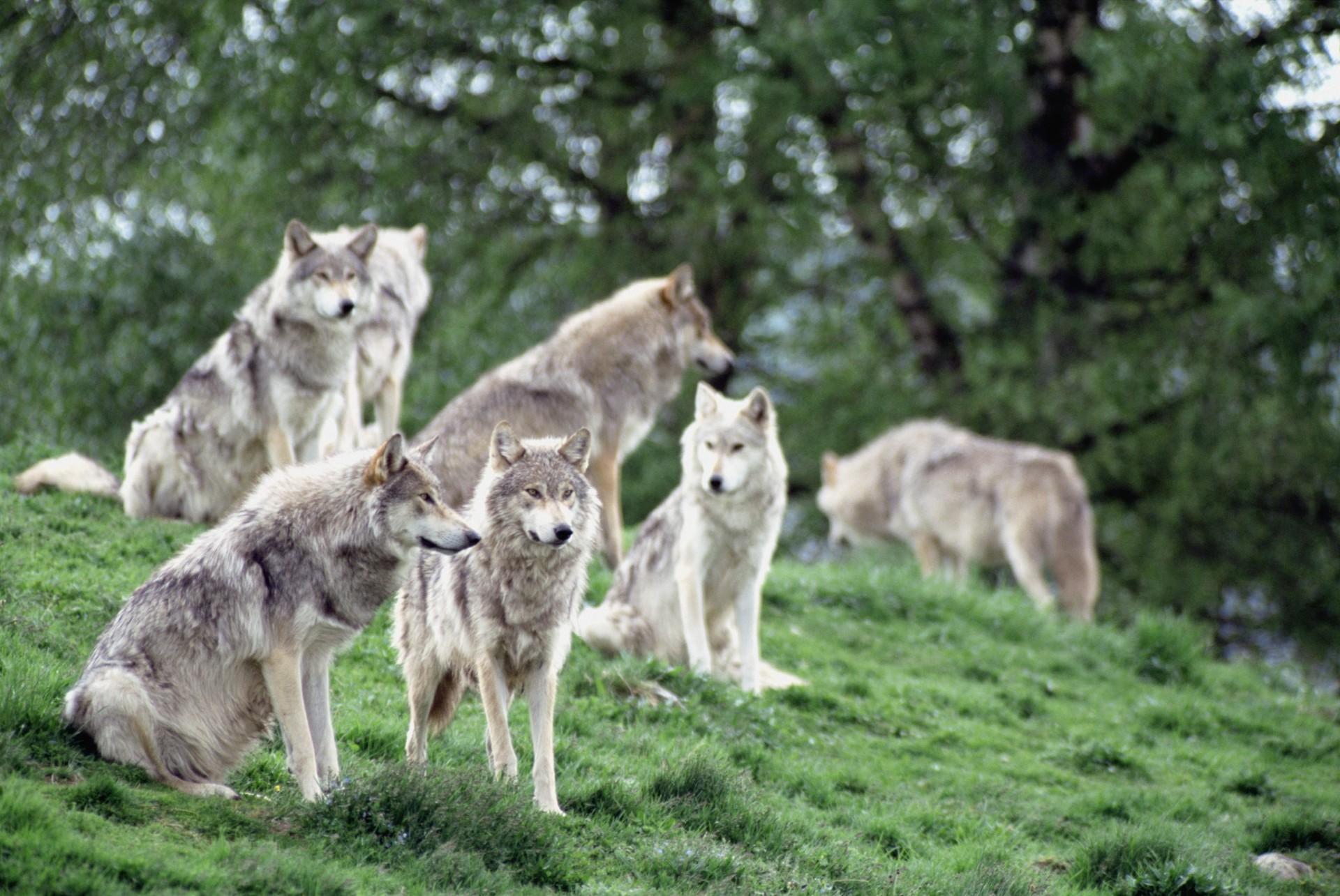 люди волчья стая картинки вот