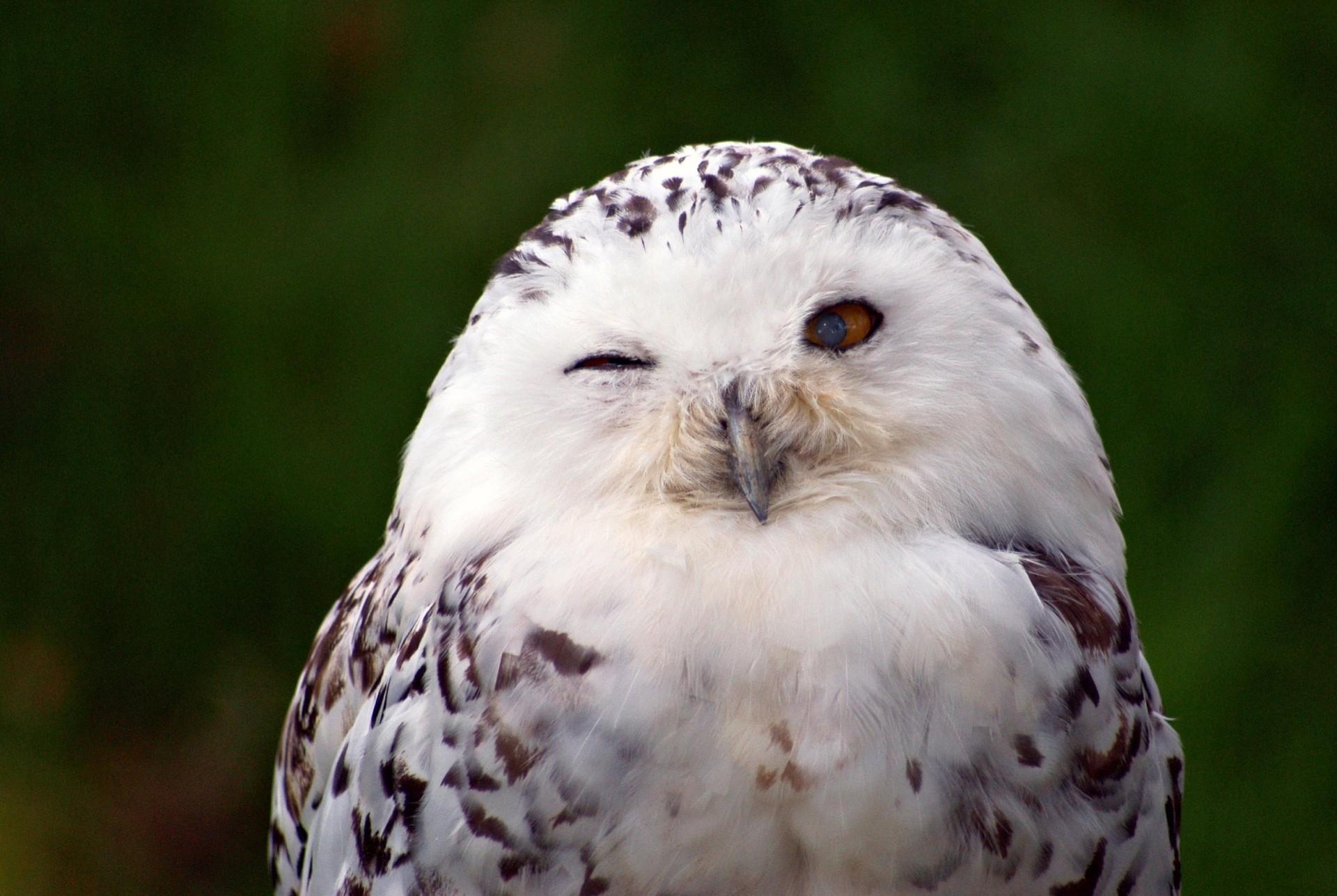 белая сова загрузить