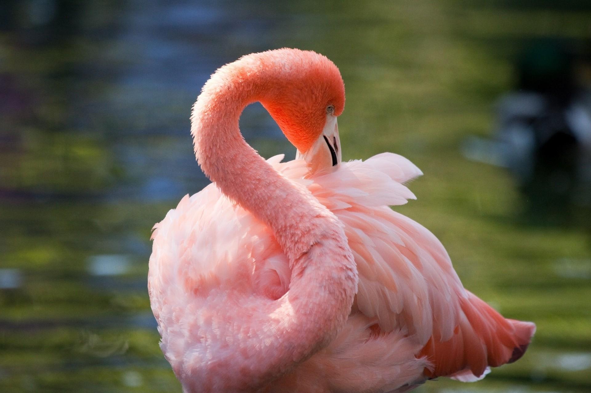 винная птица фламинго картинки уже через