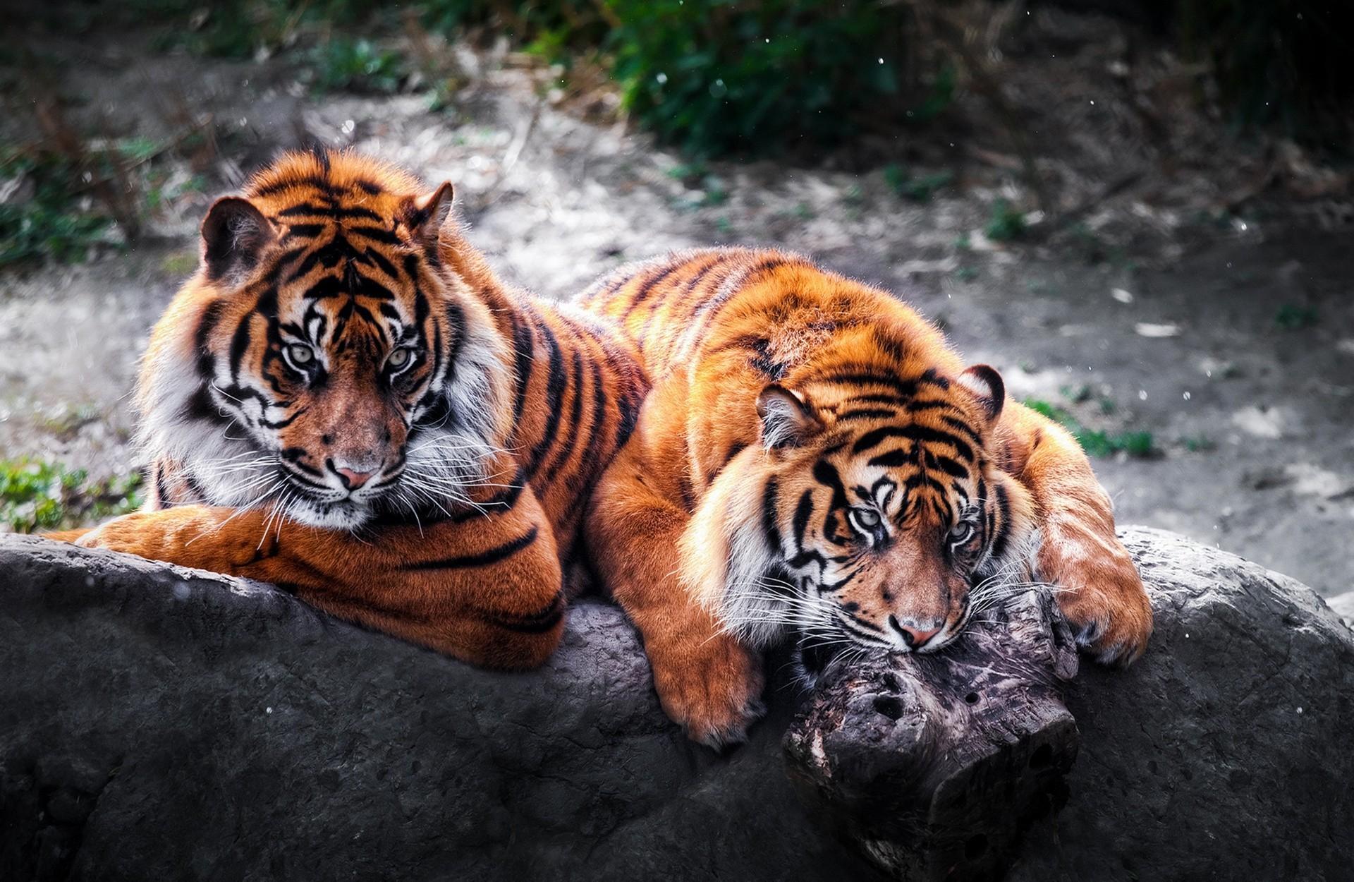 Картинка с тигром для рабочего стола, сделать открытку