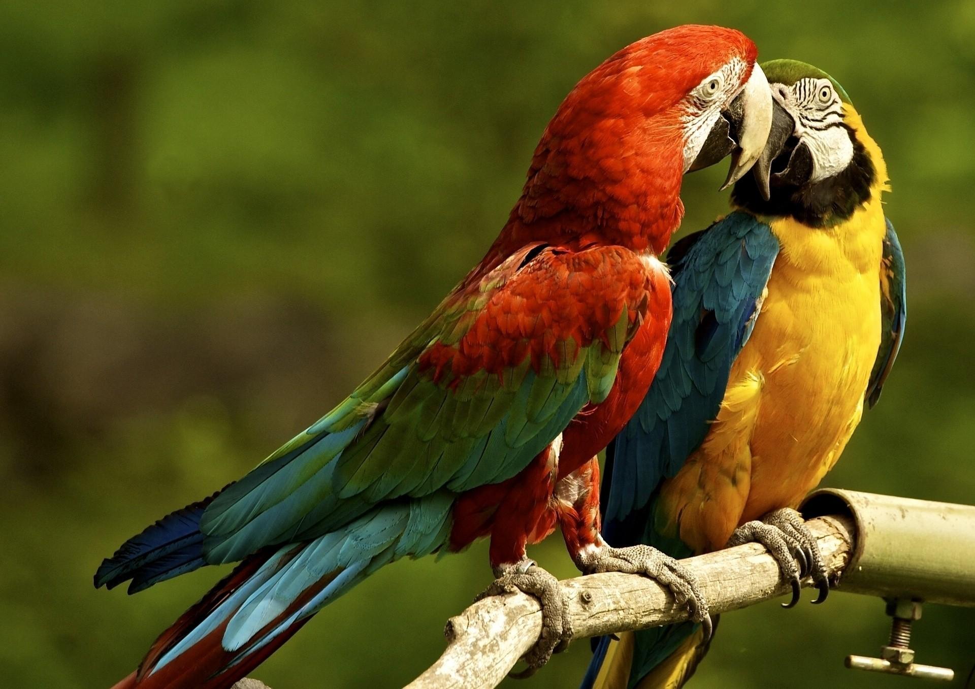 Поцелуй попугаев бесплатно