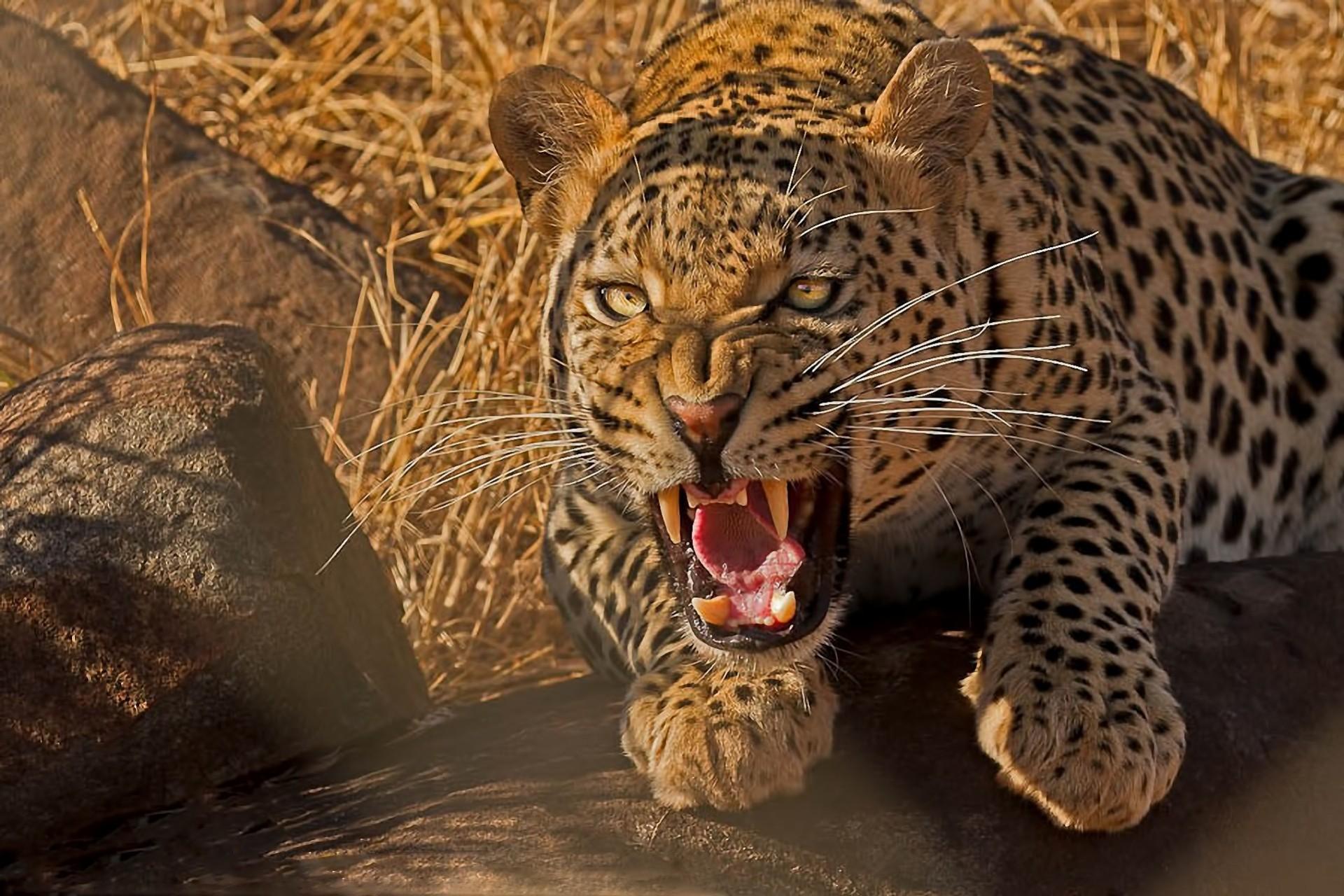 предназночение красивые картинки с дикими хищными животными обжариваю