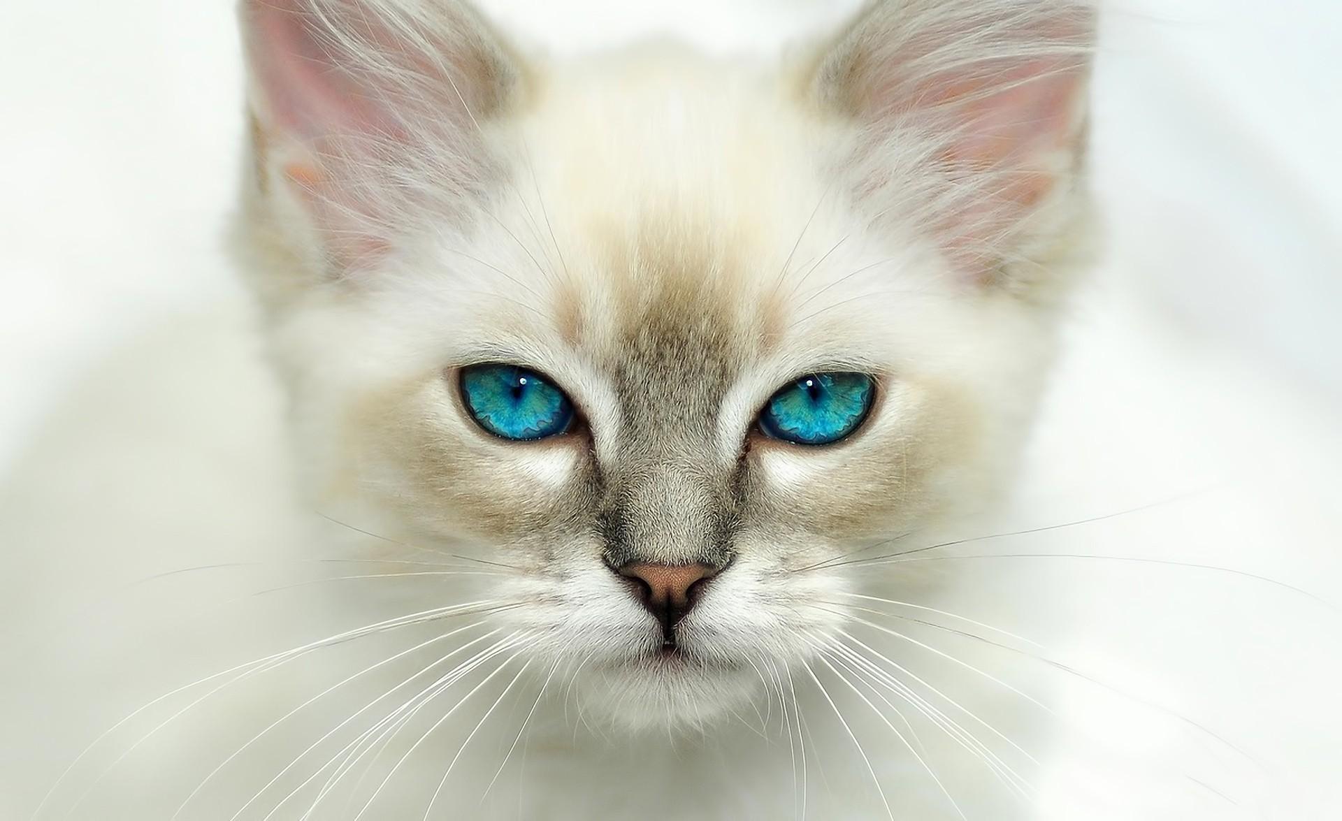 обои на рабочий стол белая кошка с голубыми глазами № 186047 загрузить