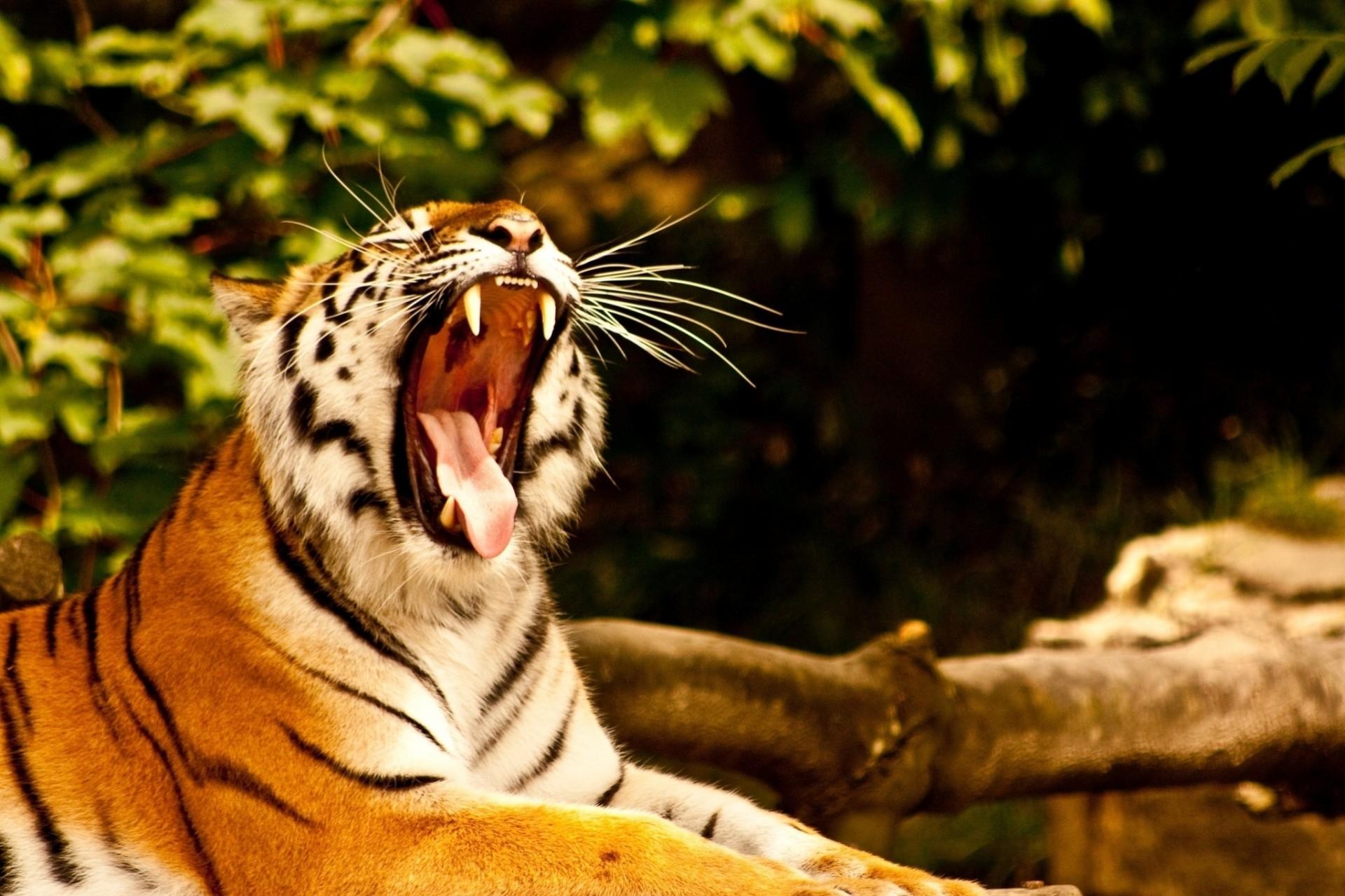 так картинки тигр с открытым ртом этой