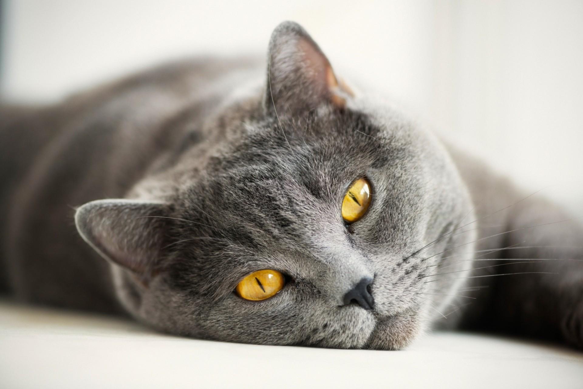 Обои smoky, дымчатый, кот, cat. Кошки foto 10