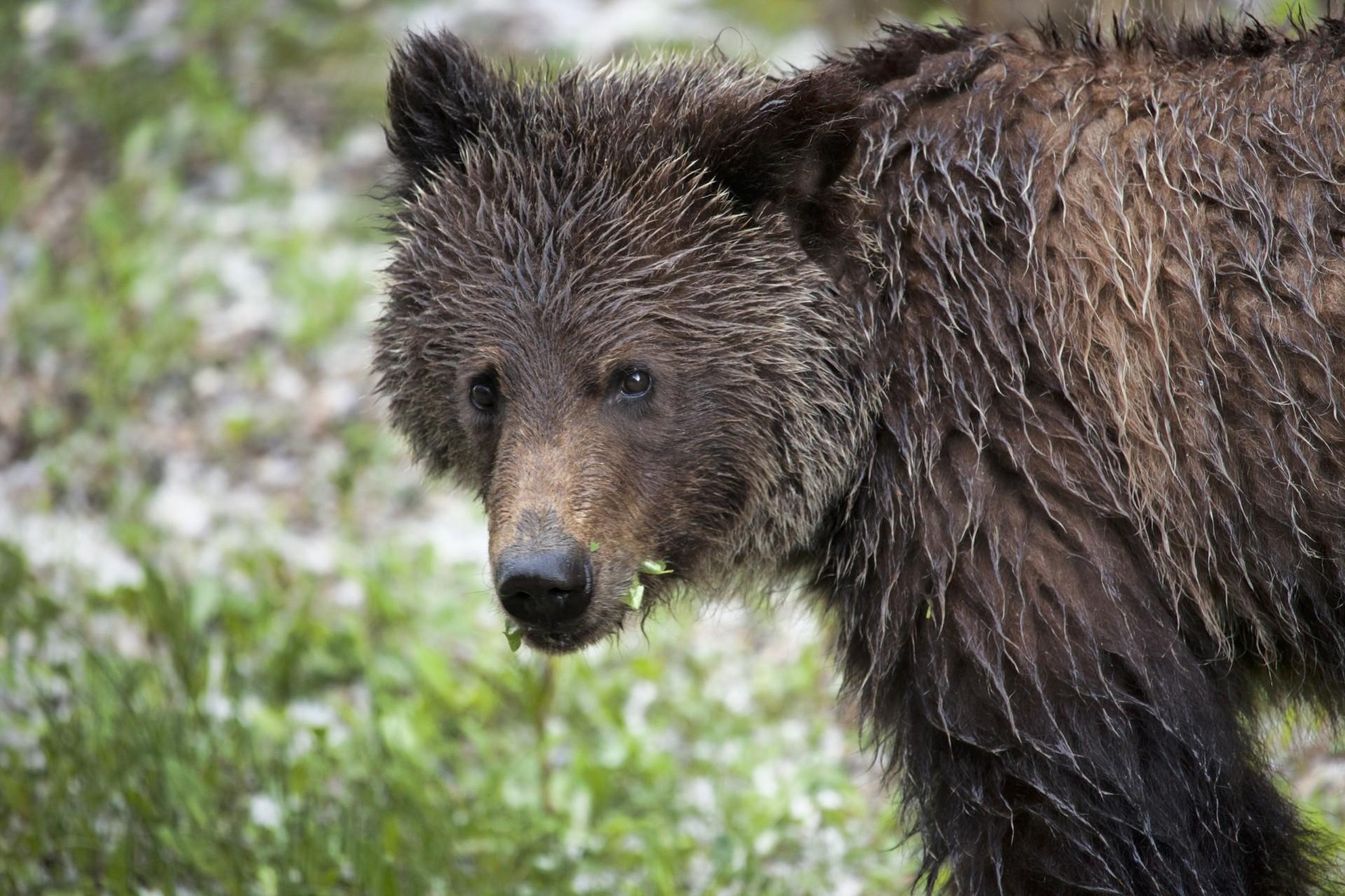 вместо картинки мокрый медведь исполнения