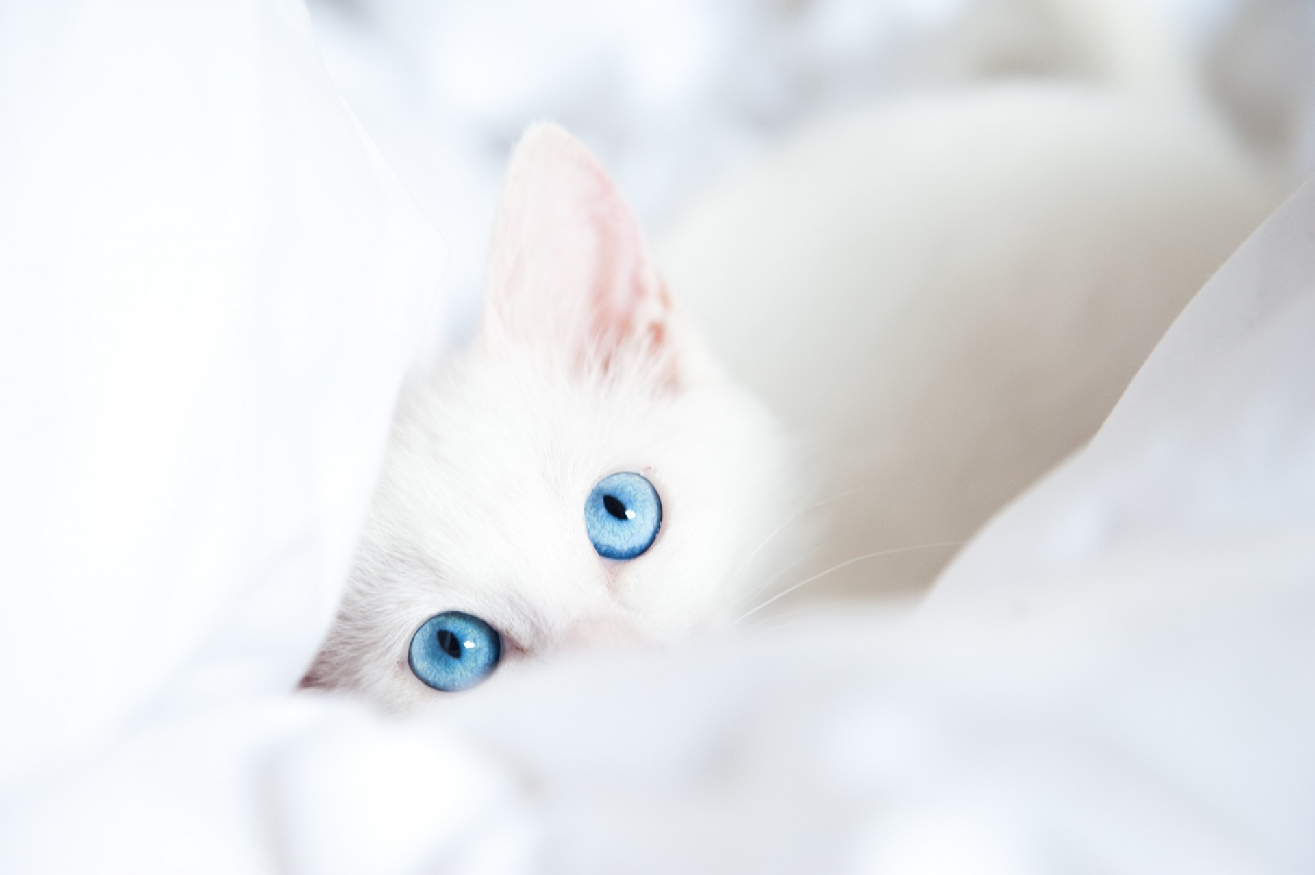 Картинки завтра, картинки кошки белые с голубыми глазами