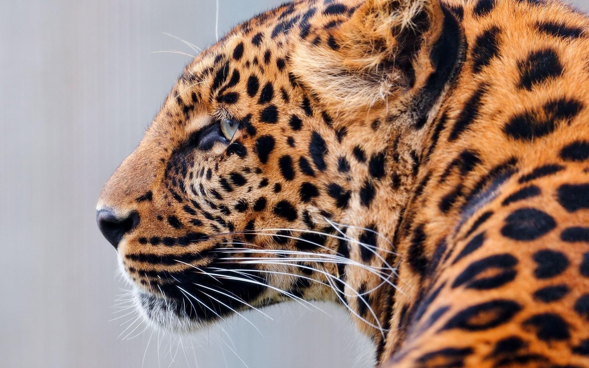 Крутые картинки леопардов, нежного утра мужчине