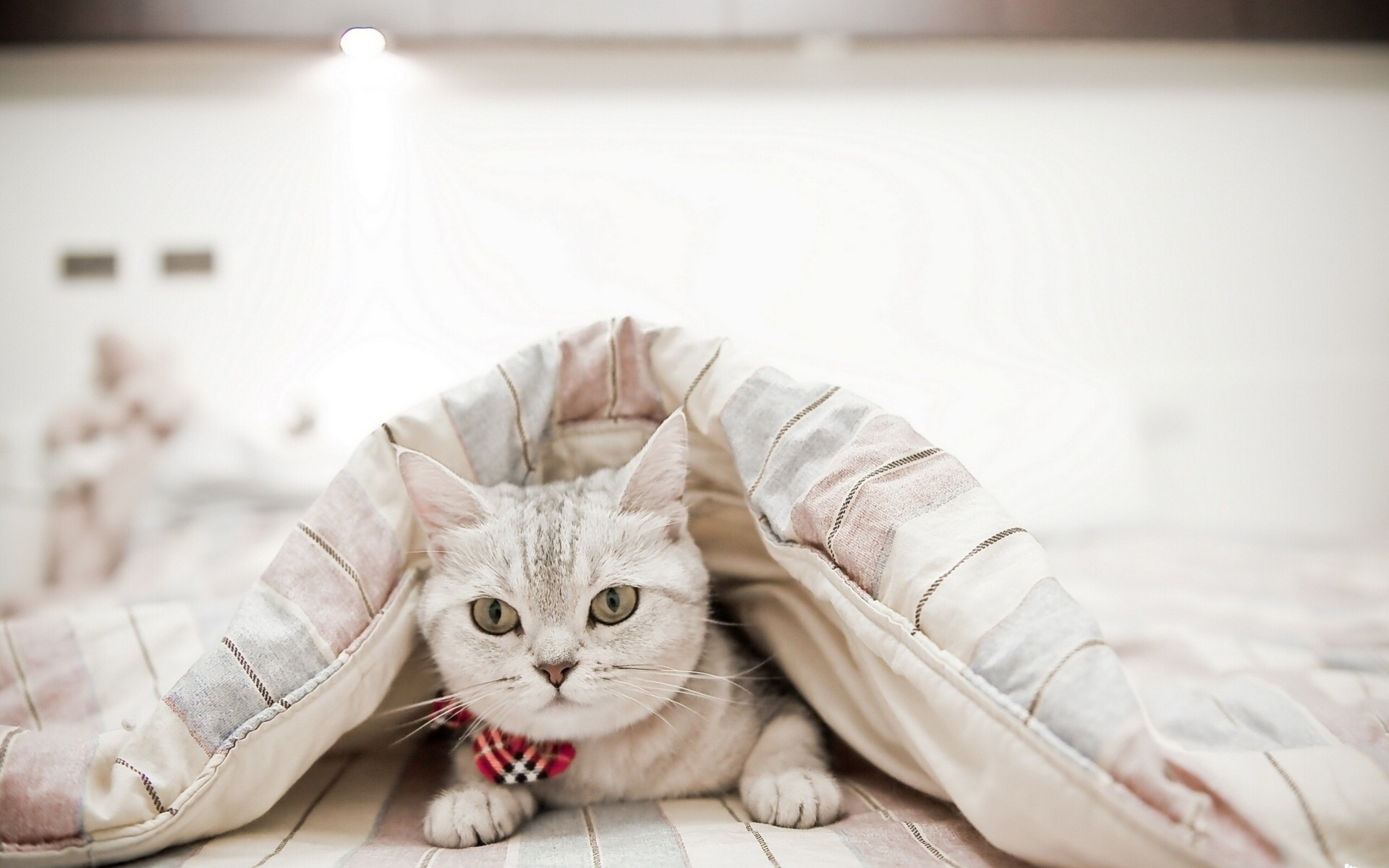 фото котенка под пледом максимальном