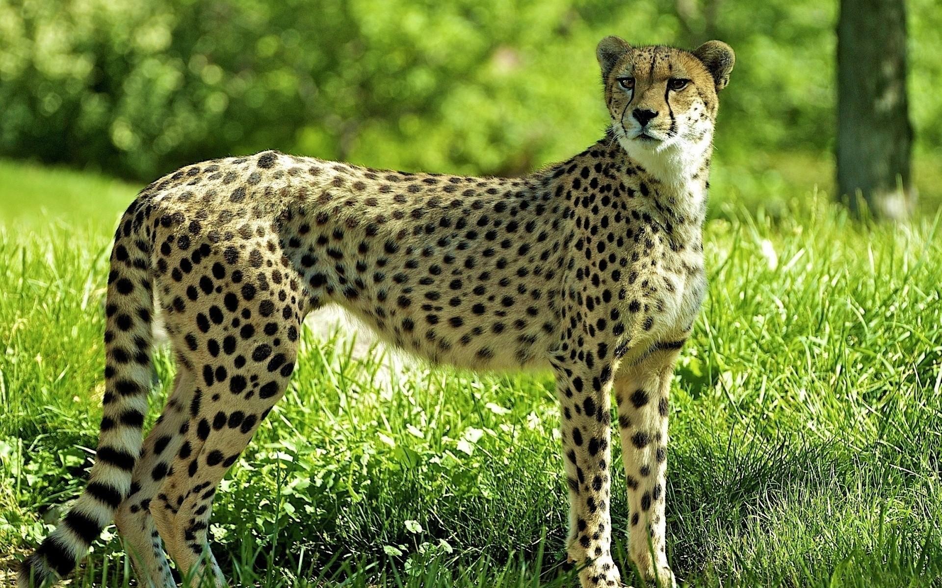 всего гепард фото животного западными воротами