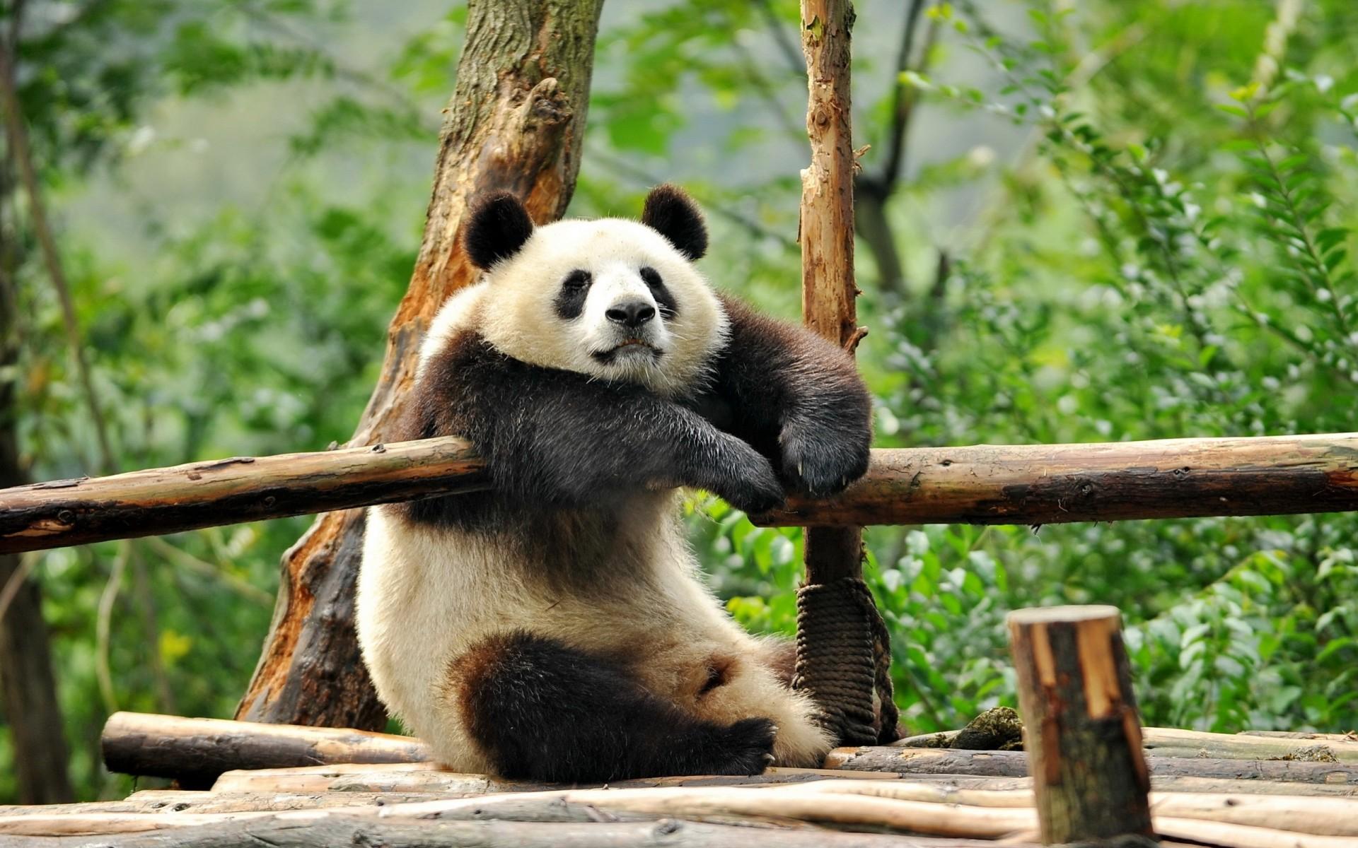 Обои 1366х768 для рабочего стола панды