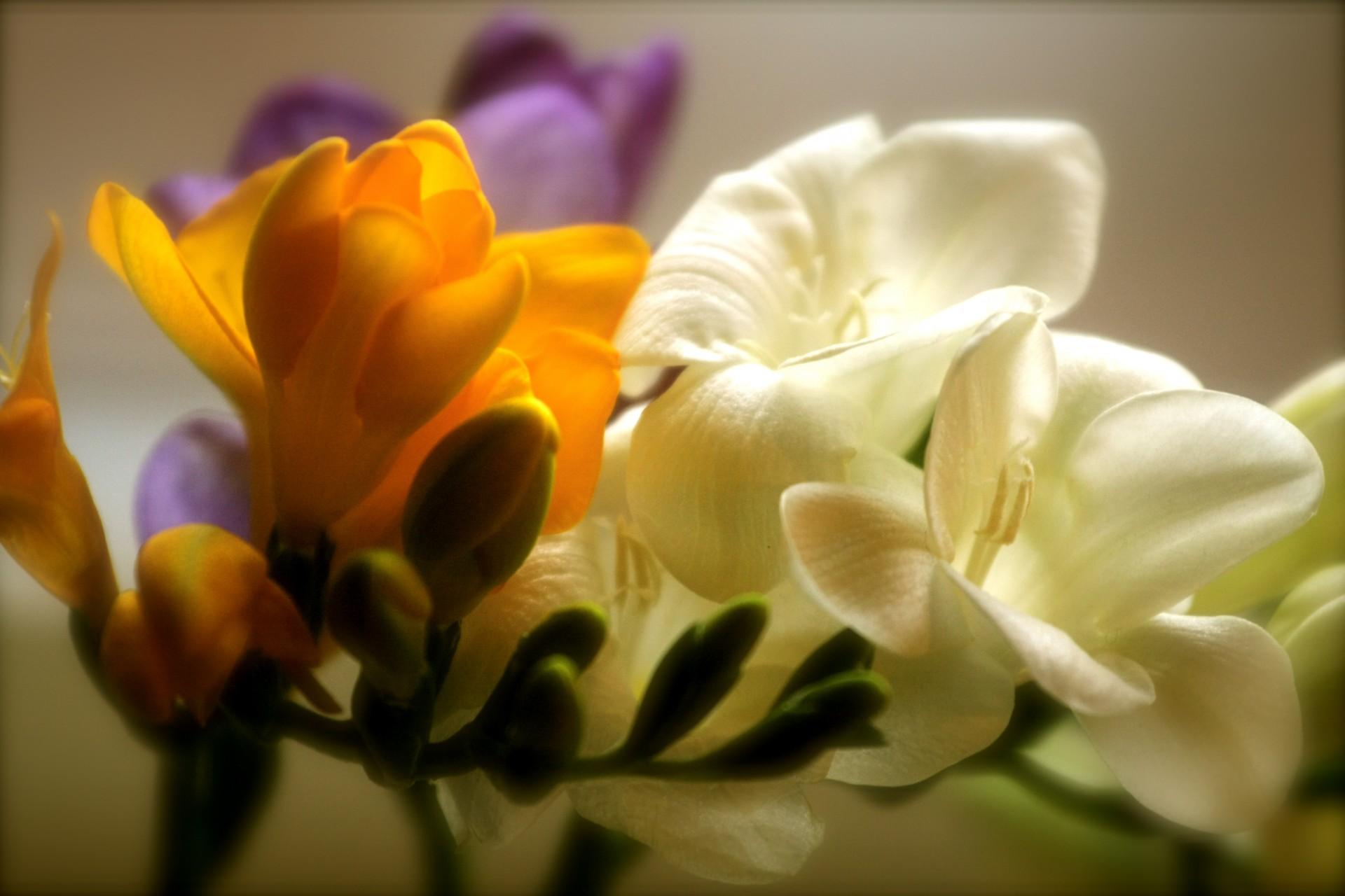 Картинка цветка фрезия