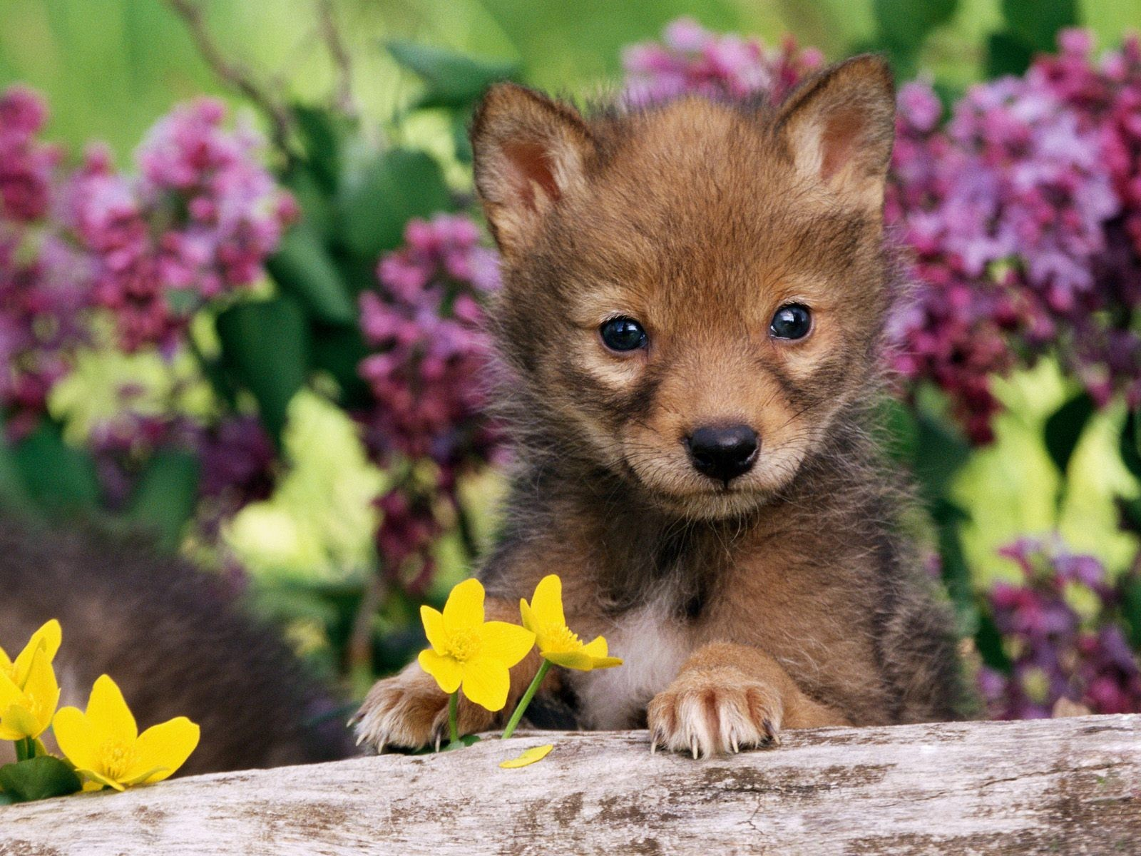 baby coyotes picture - HD1600×1200