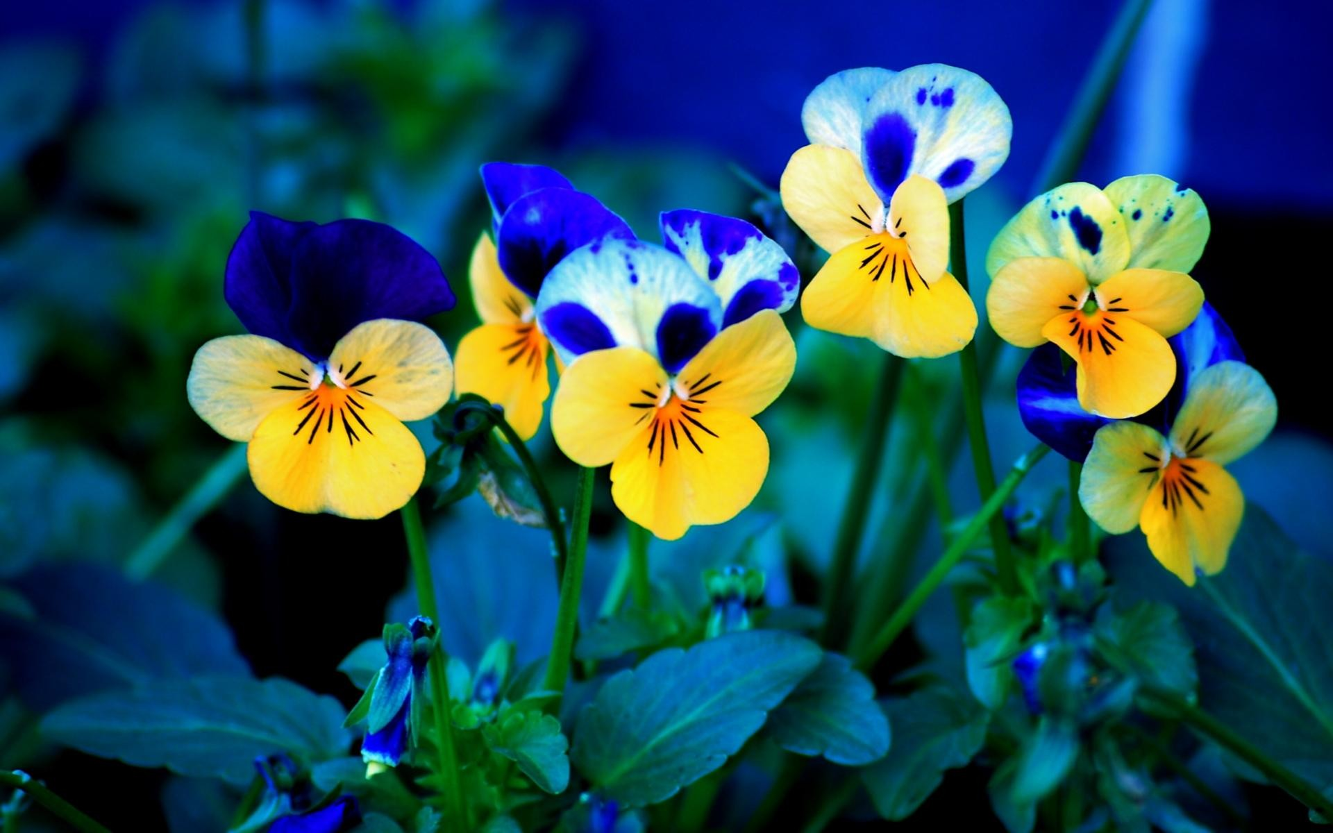 Обои цветы, анютины глазки. Цветы foto 10