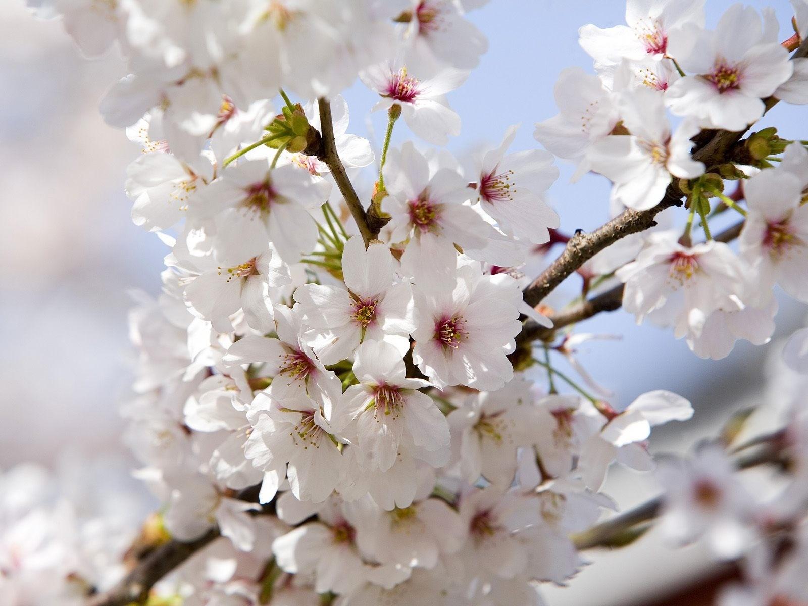 Открытки днем, цветущая яблоня открытки