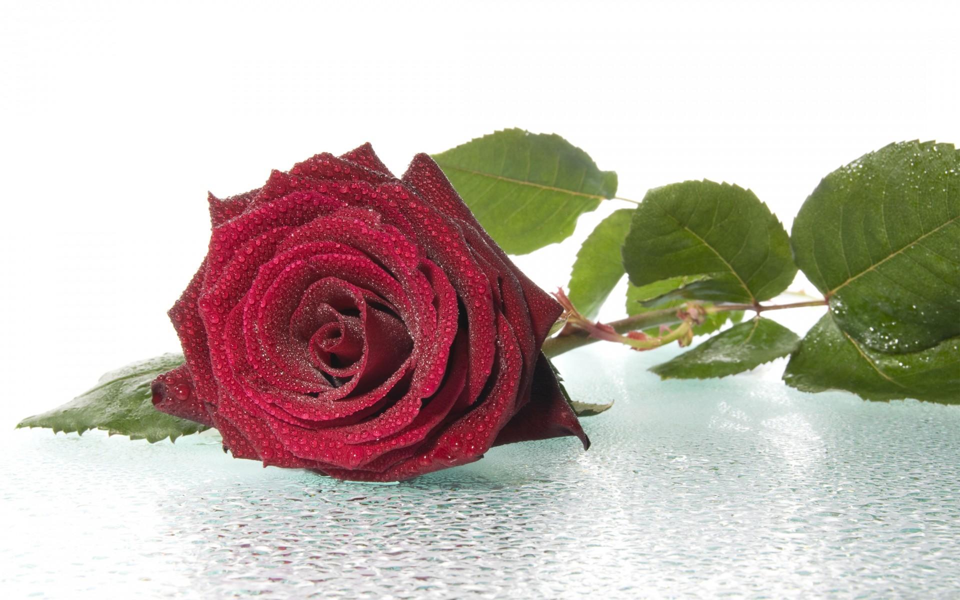 Открытка бордовые розы