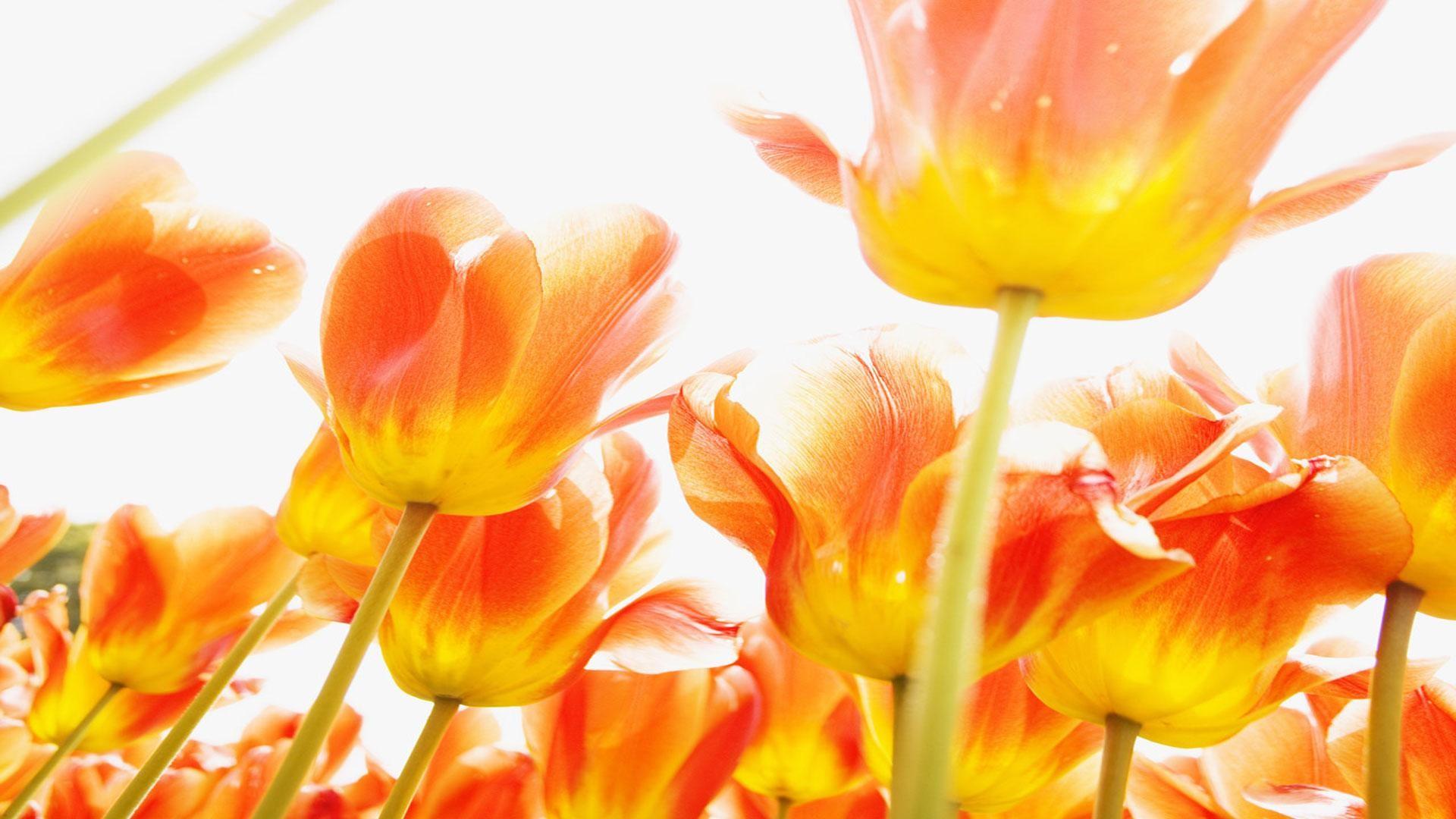 тюльпаны свет цветы  № 736306 загрузить