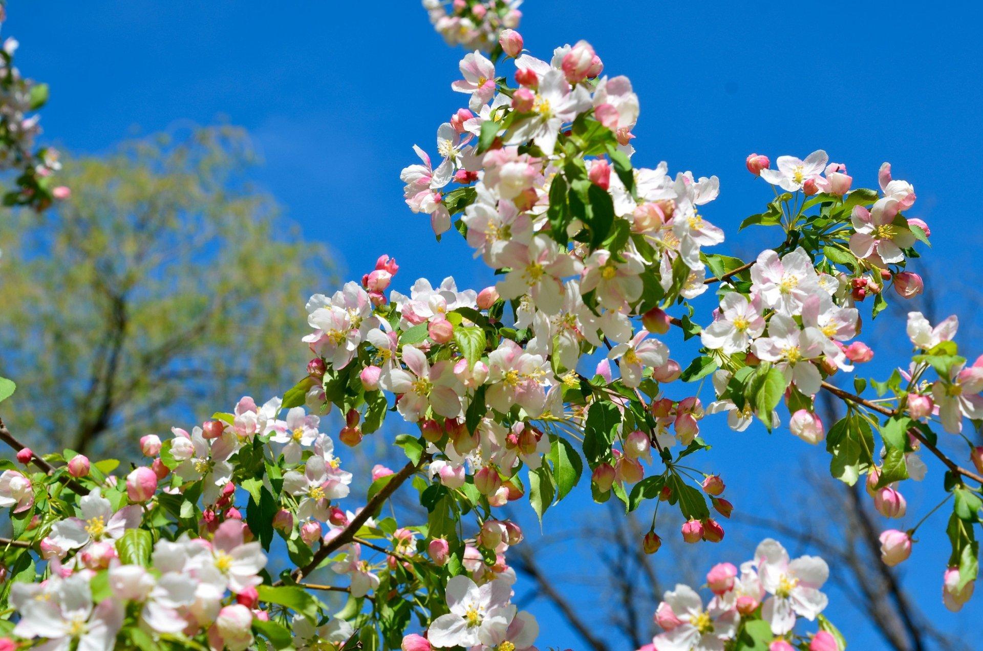 часто этот цветение яблонь фото оперения пестрый варьируется