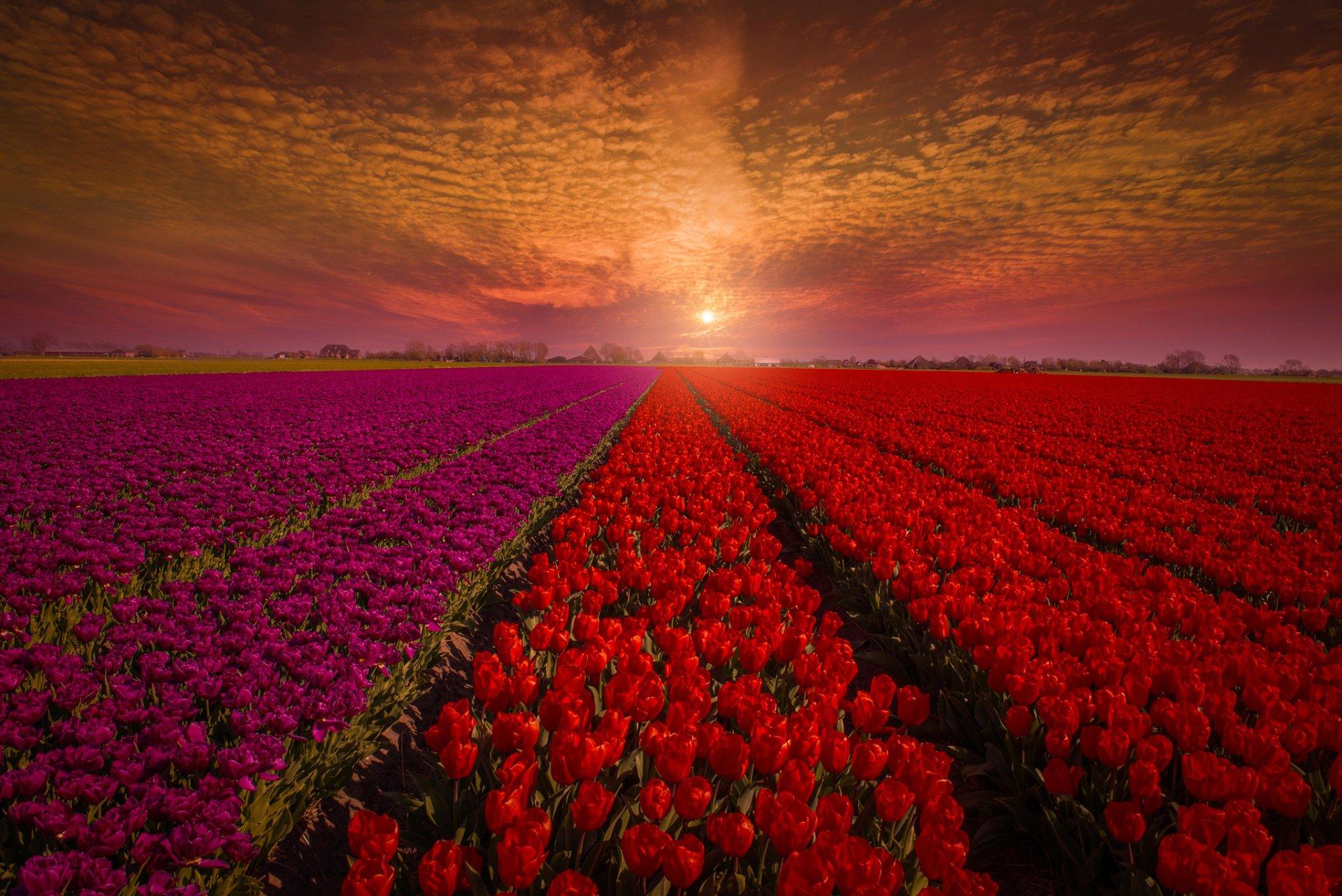 тюльпаны поле розовые закат без смс