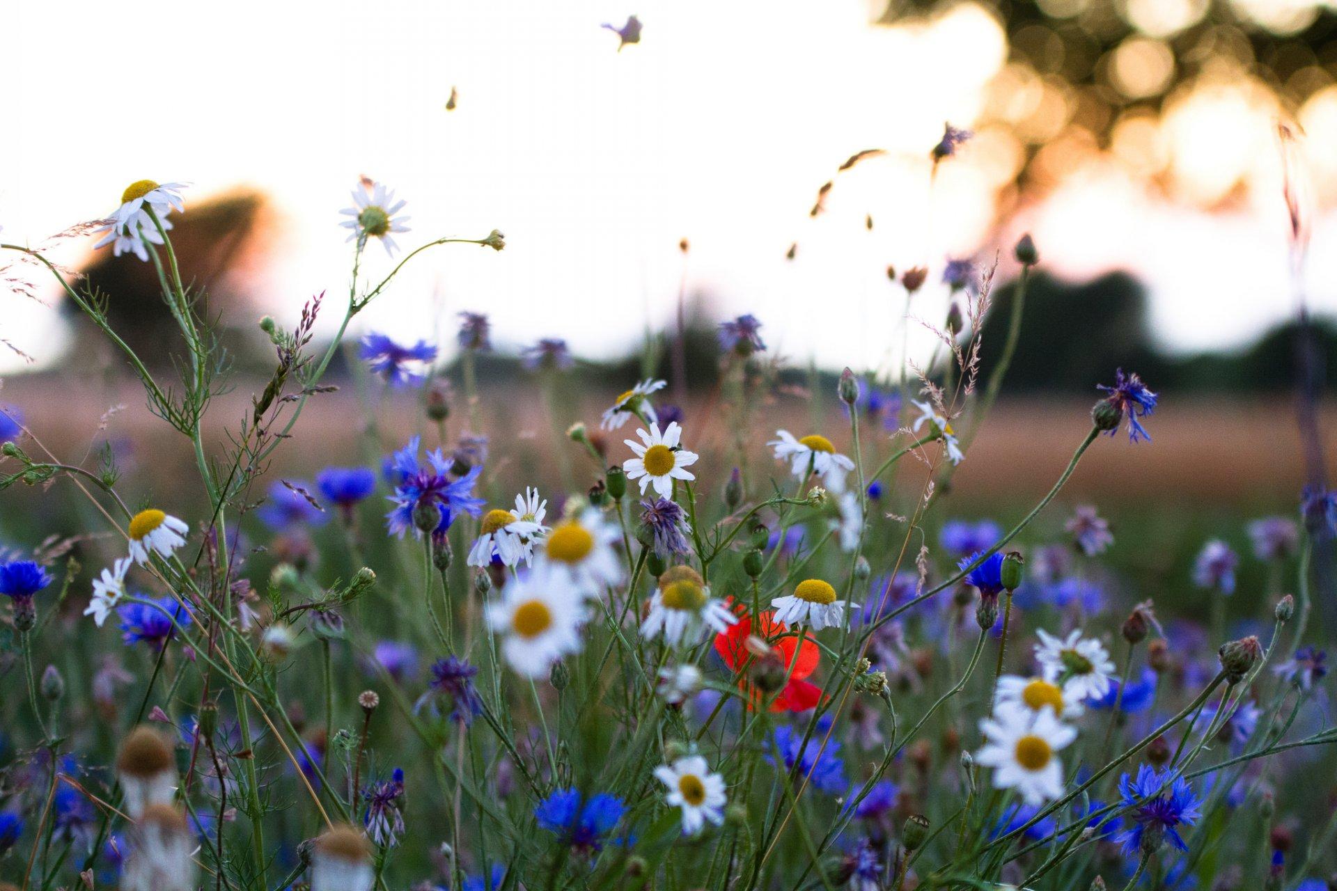 Полевые цветы полевые васильки и ромашки в лугах, ровно