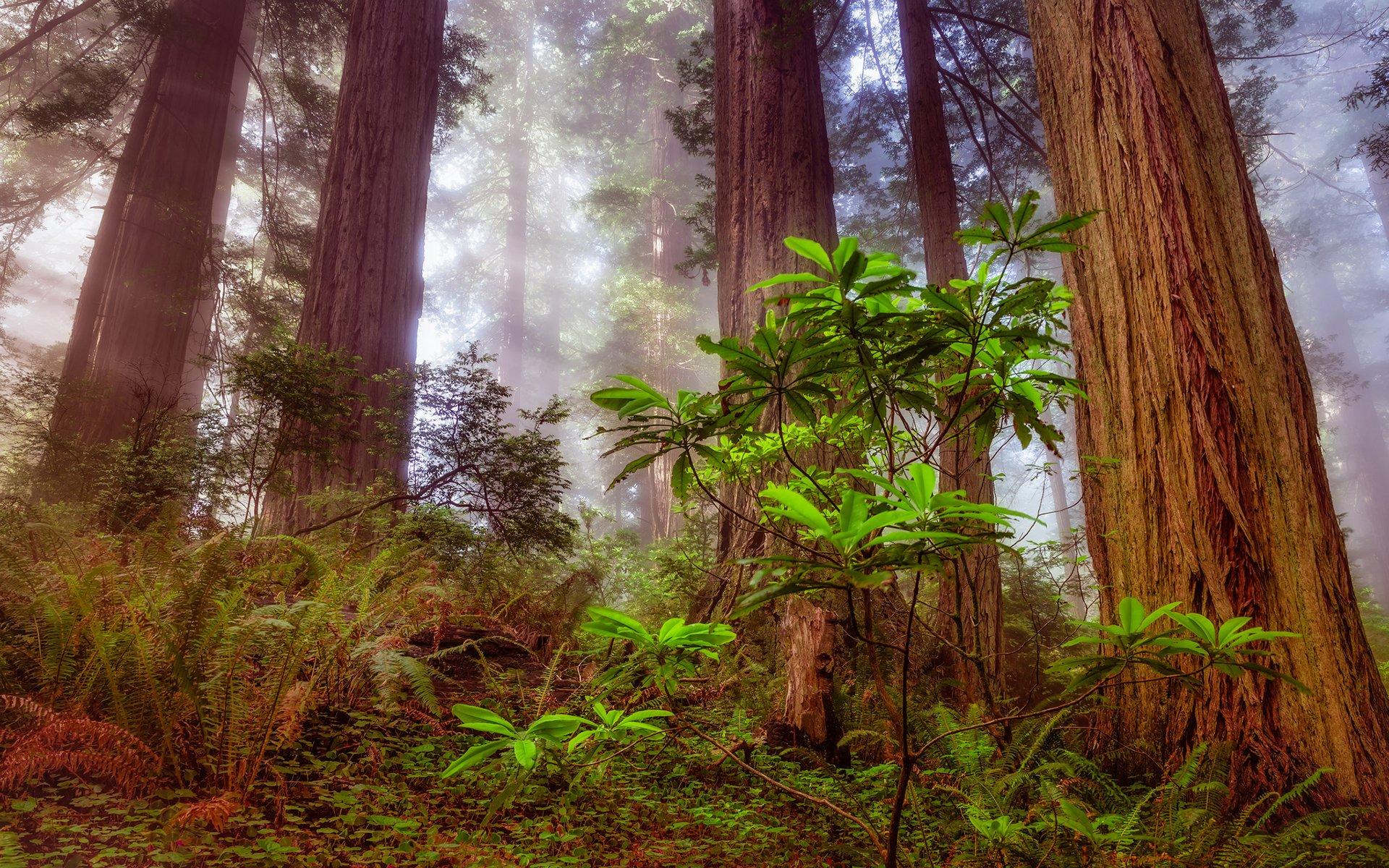 Обои сша, туман, национальный парк редвуд, калифорния. Природа foto 19