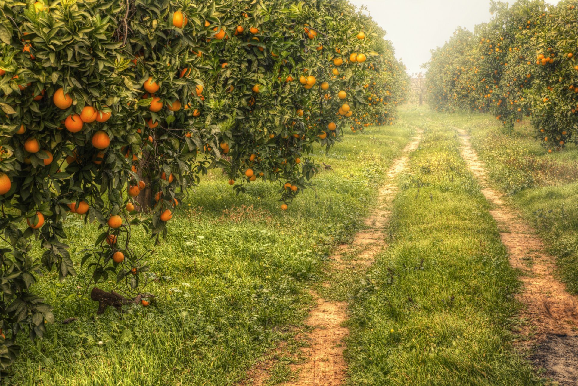 сад мандарины природа HD обои для ноутбука  Фруктовый Сад Обои