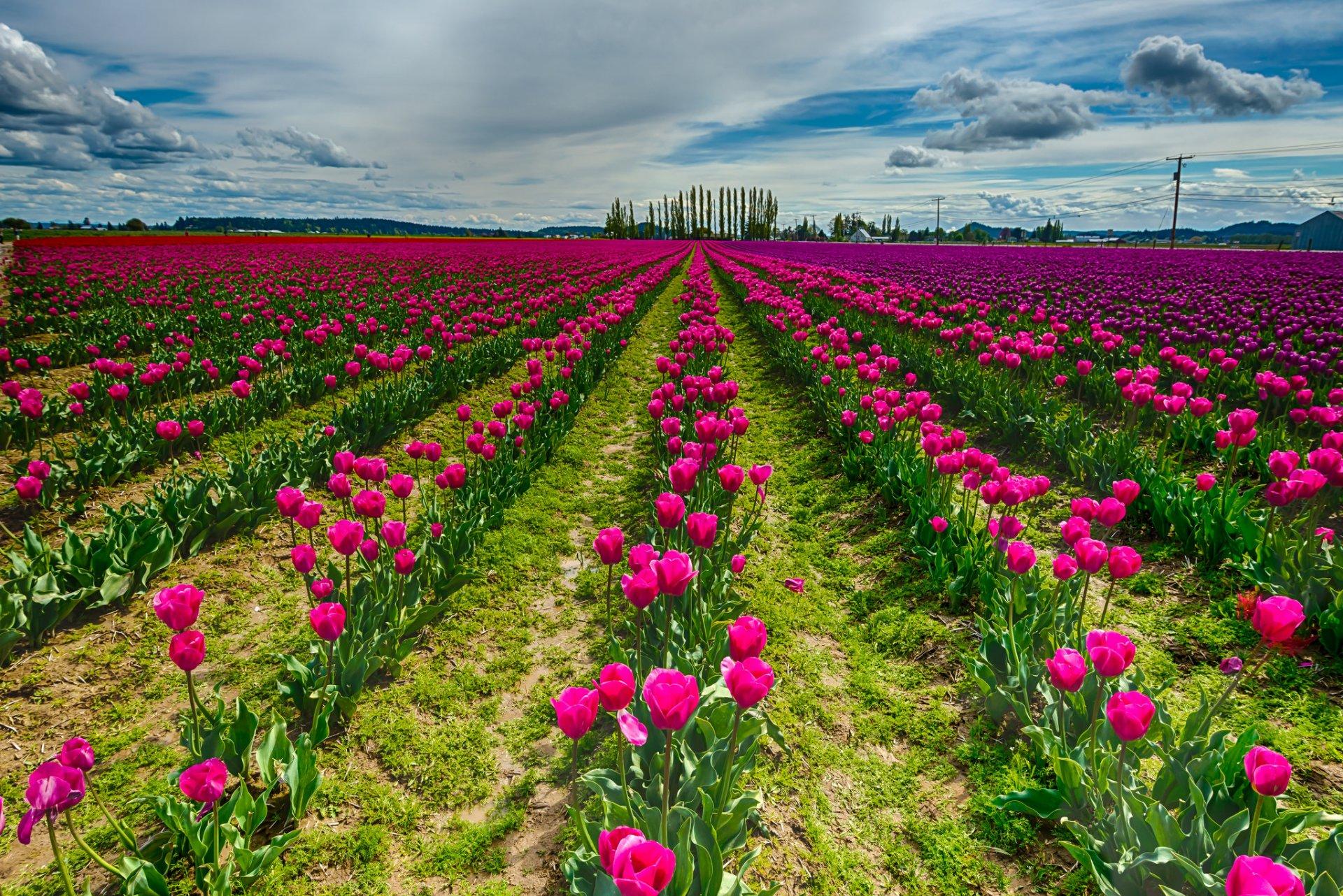 Про, открытка поля тюльпанов