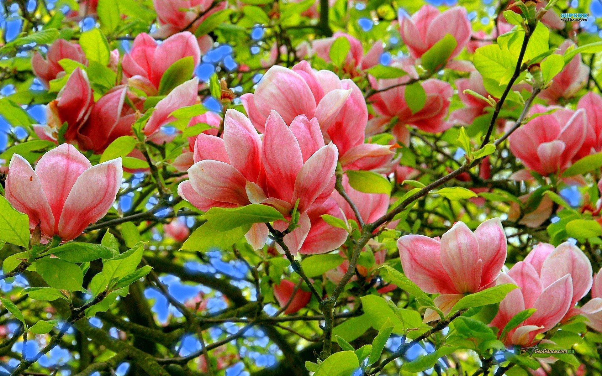Магнолия дерева и цветов