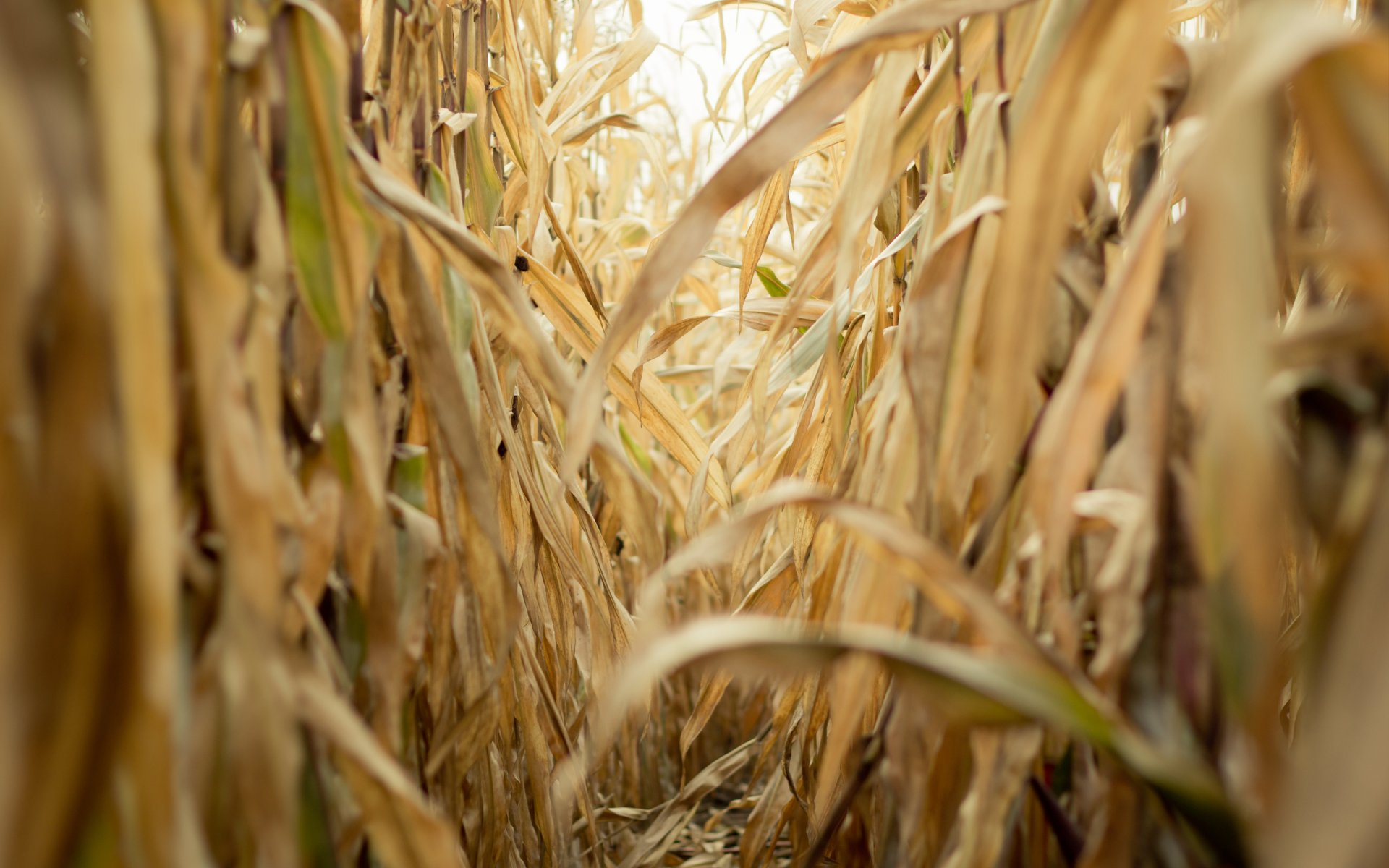 Animated corn field