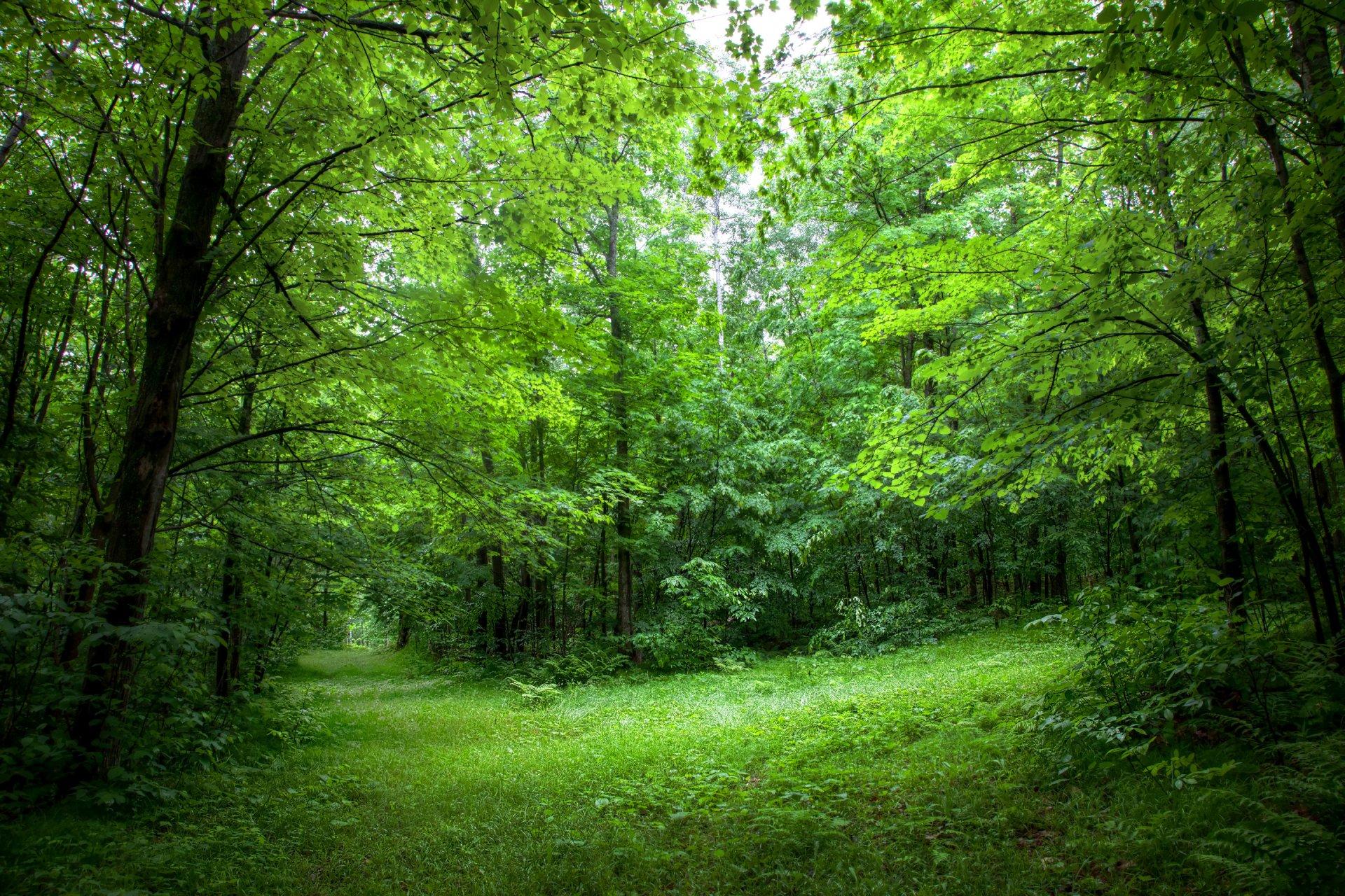 лес деревья опушка листья лето HD обои для ноутбука