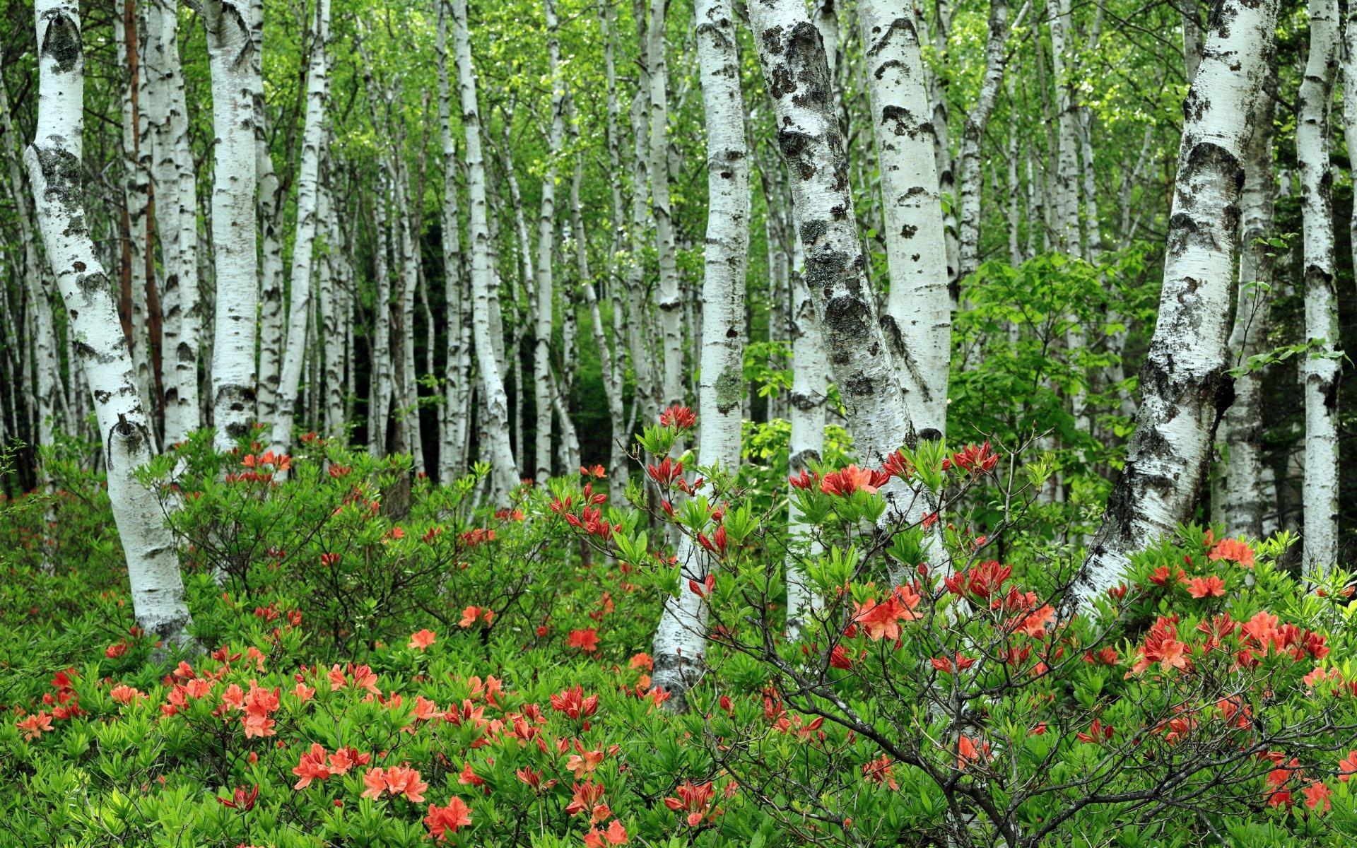 папоротник картинки про природу березовую рощу и цветы это