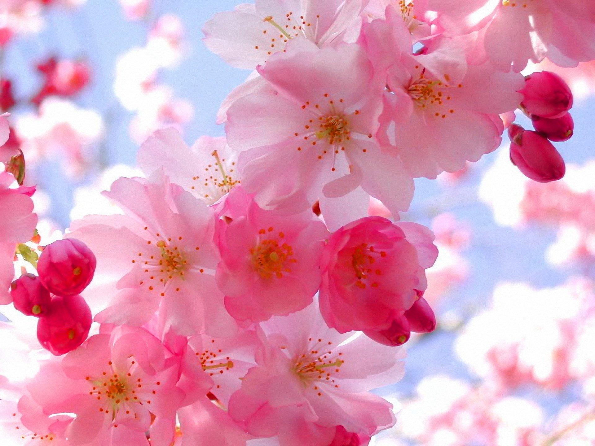 Для, открытки с цветами вишни