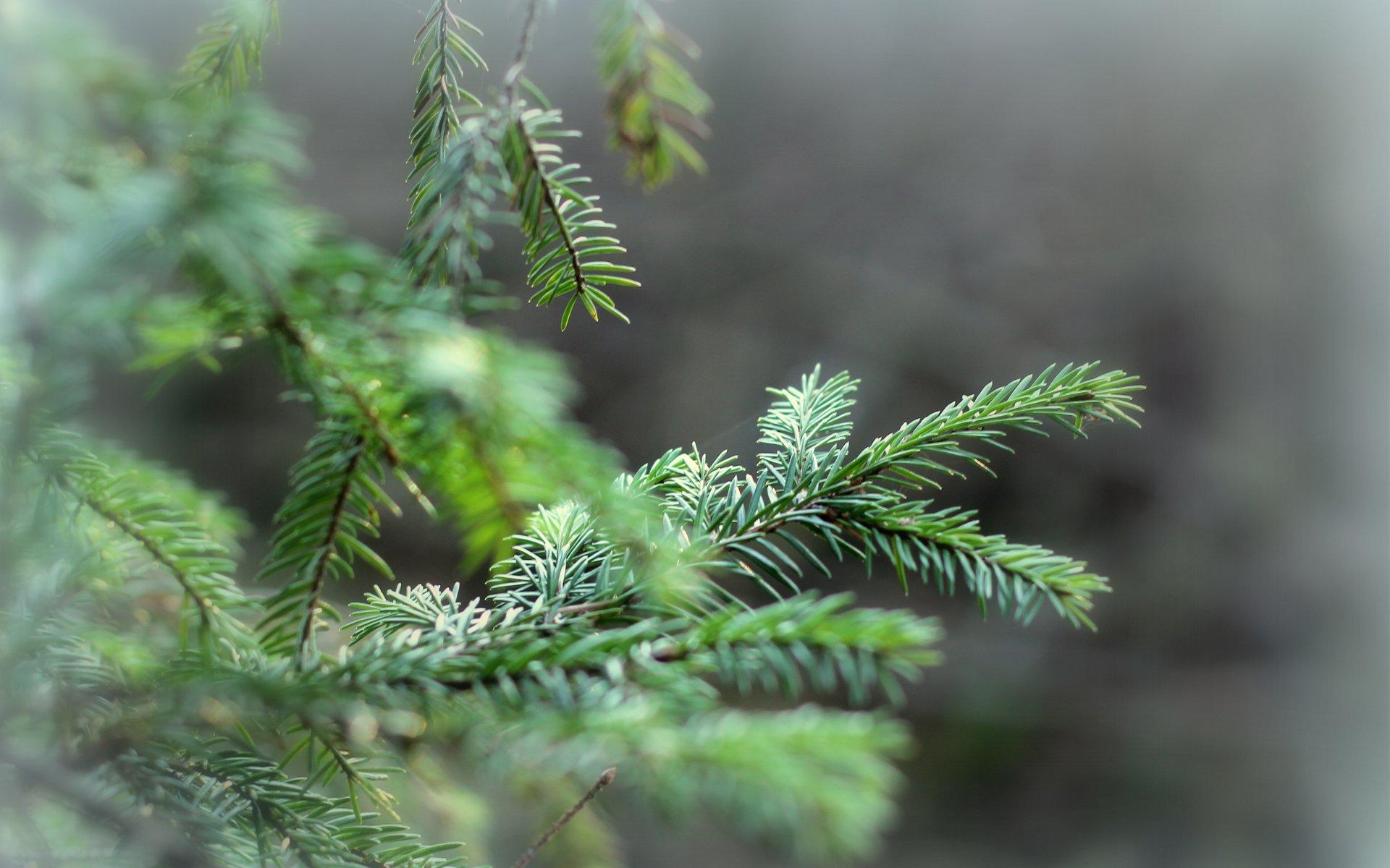 природа деревья ель  № 316115 загрузить